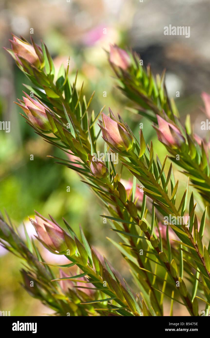 West Australian wildflower Bunjong Pimelea Spectabilis - Stock Image