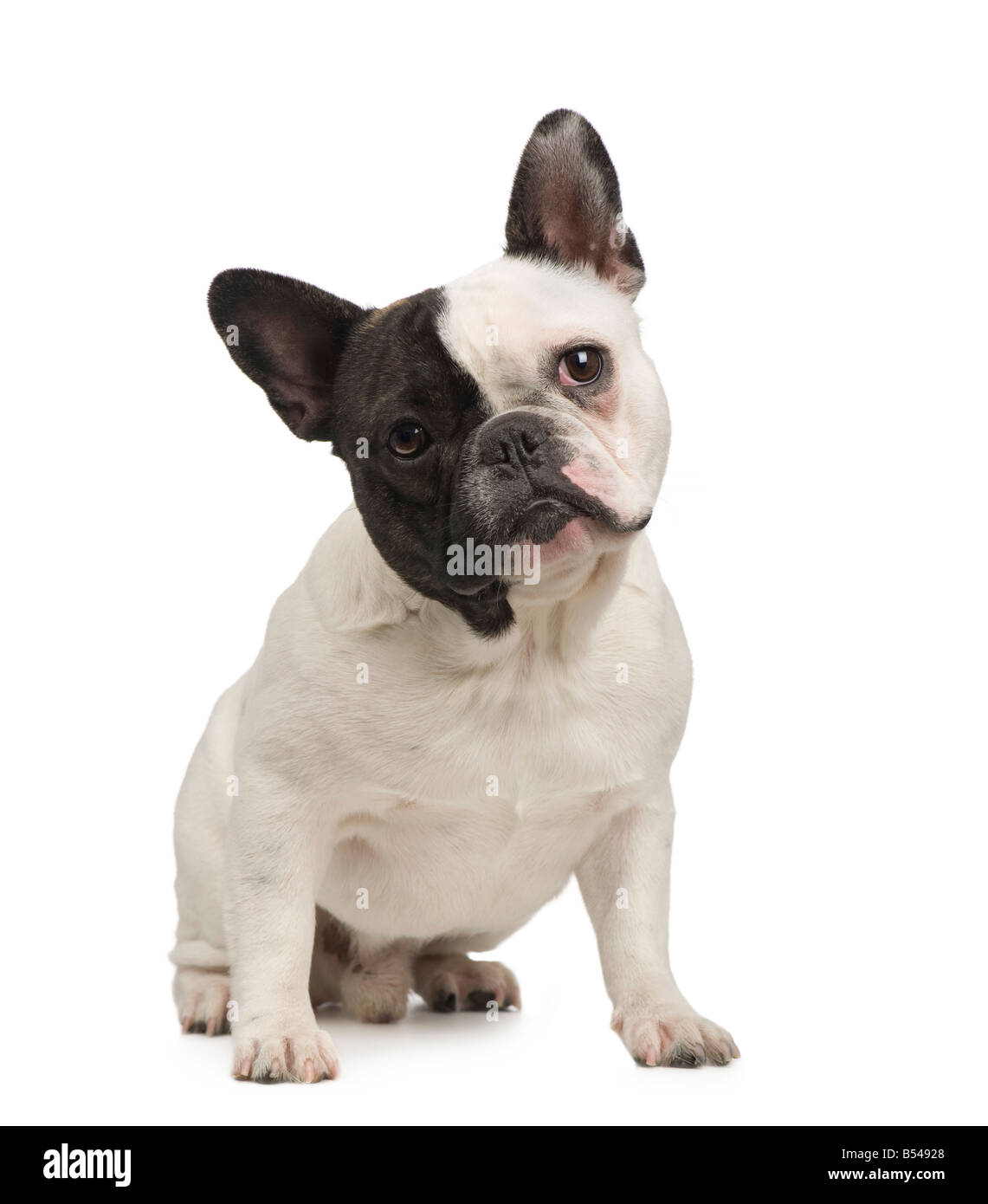 french Bulldog 18 months in fronta of a white background - Stock Image