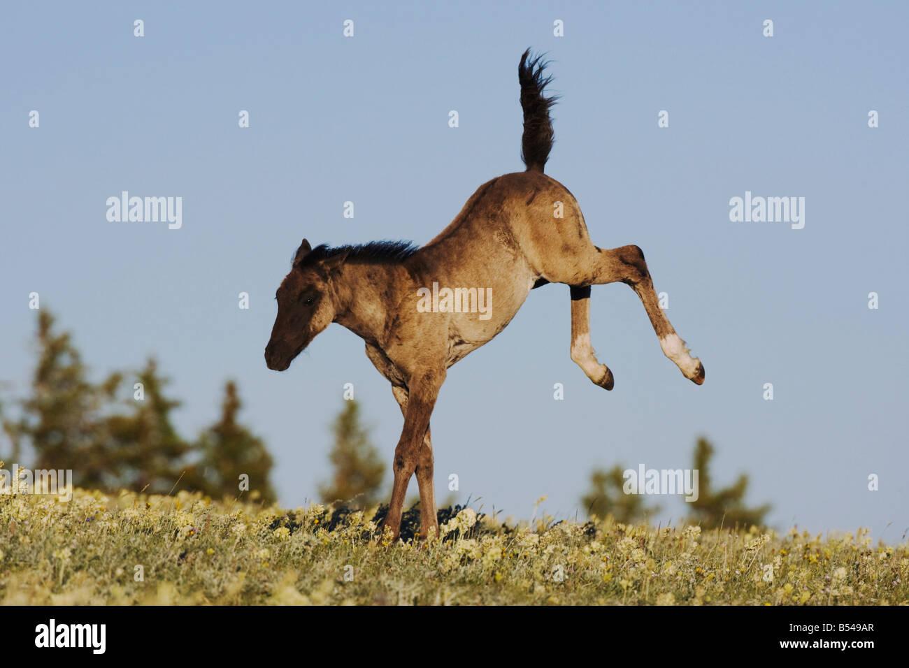Mustang Horse Equus Caballus Colt Jumping Pryor Mountain Wild Horse Stock Photo Alamy