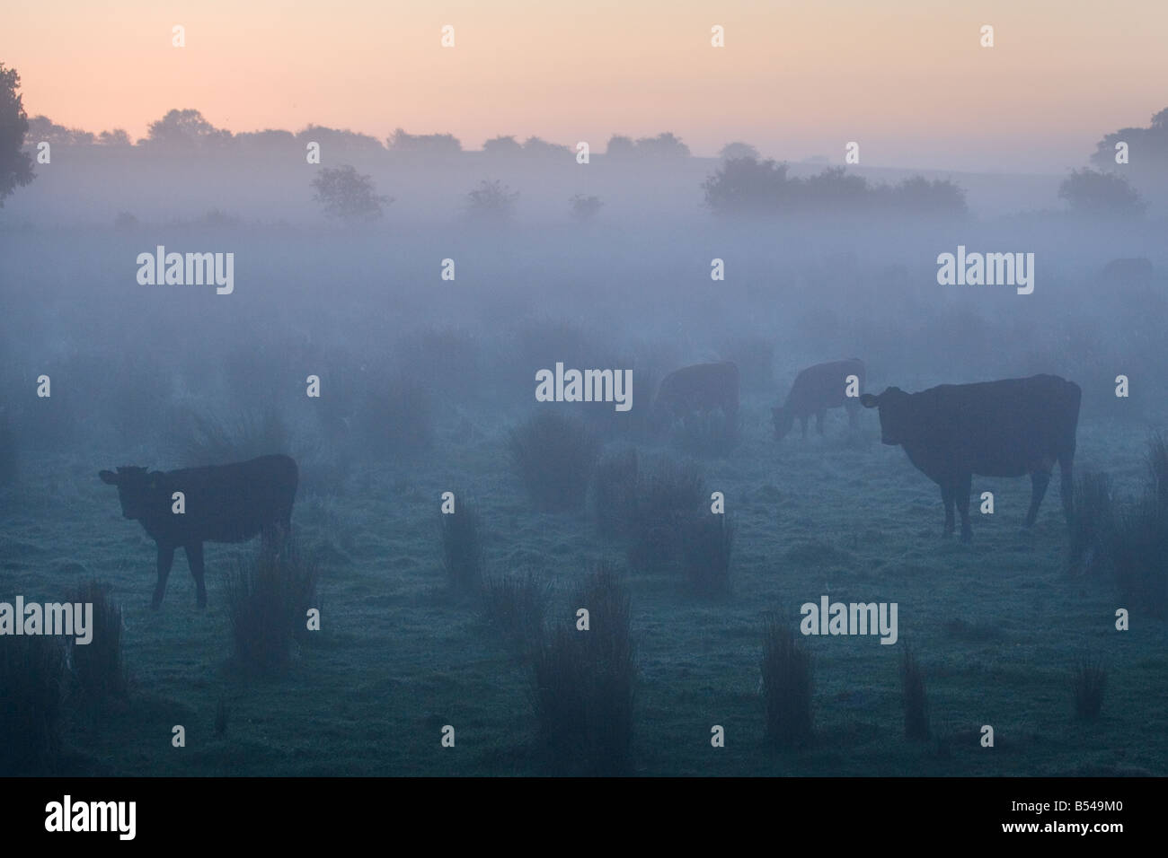 Cattle at Dawn Norfolk October - Stock Image