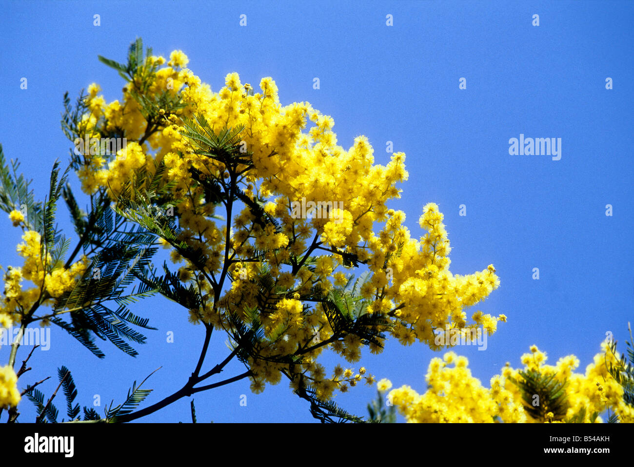 Mimosa yellow mediterranean winter flower stock photos mimosa mimosa yellow mediterranean winter flower stock image mightylinksfo