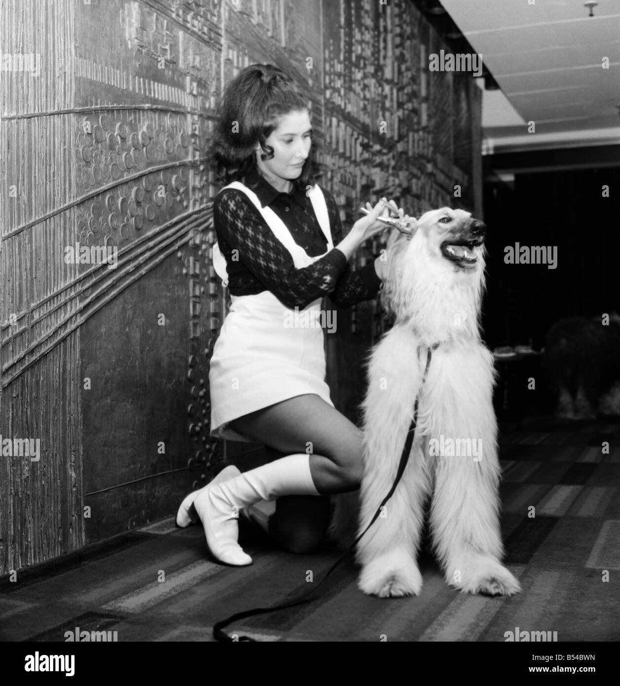 Canine stars of the Film and Television. Gloria North from Datchet, Bucks demonstrating the forcep on the ear of - Stock Image