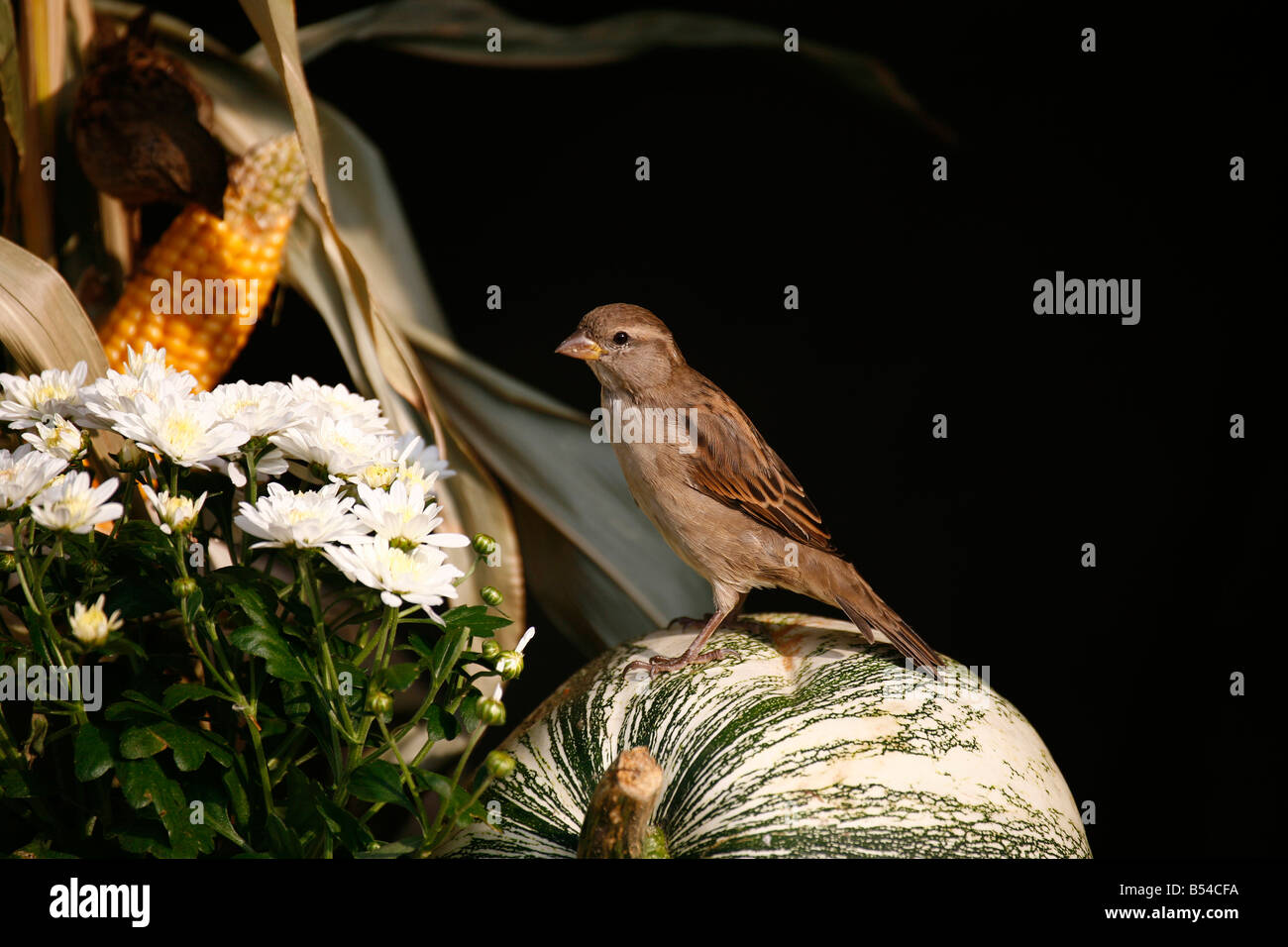 House Sparrow (Passer domesticus) female standing on pumpkin decoration for a harvest festival - Stock Image