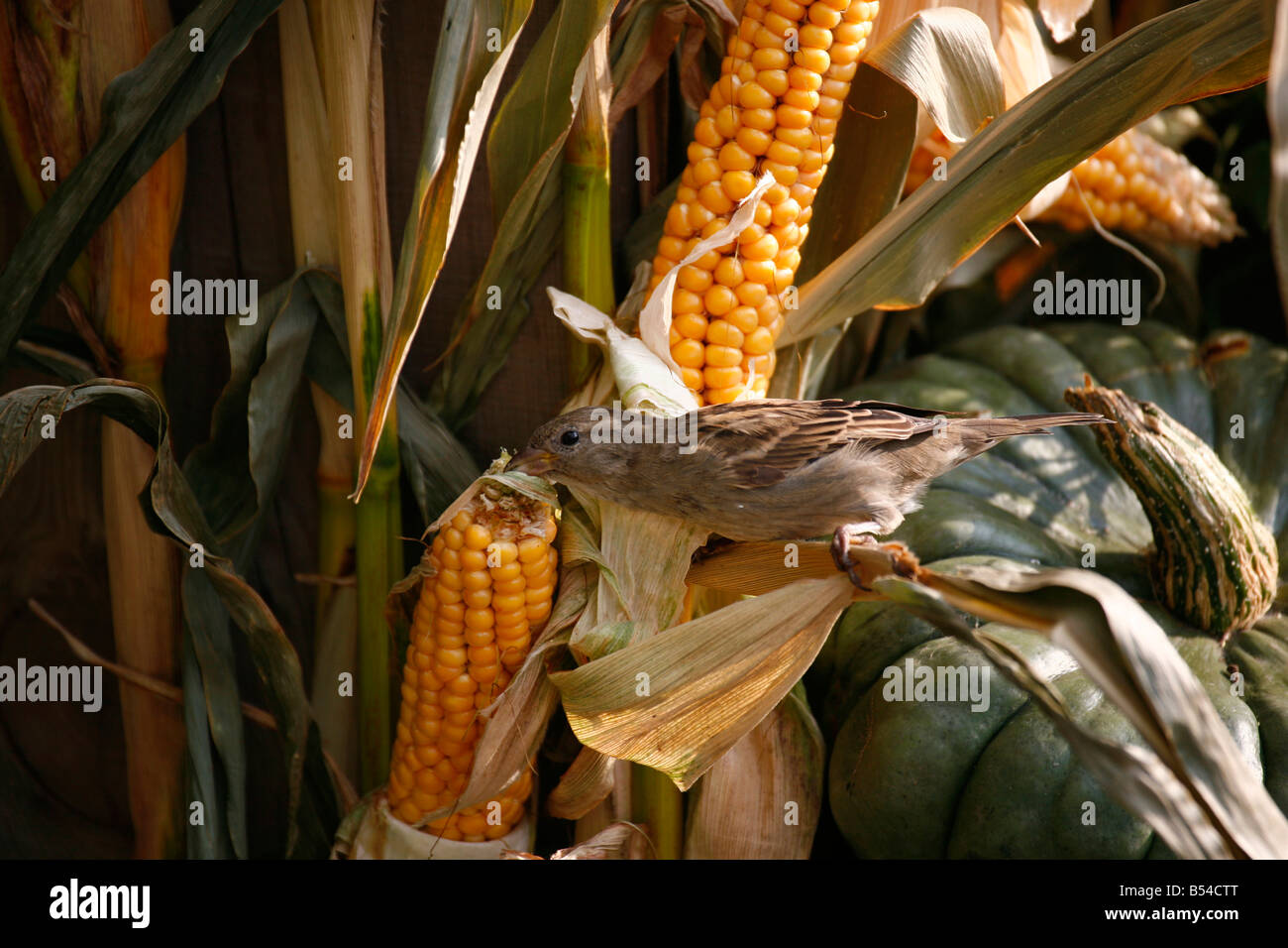 House Sparrow (Passer domesticus) female feeding on corncob in a harvest festival decoration - Stock Image