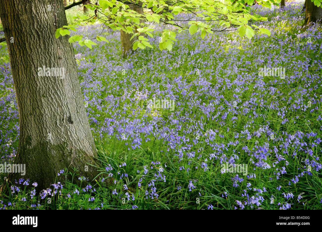 Bluebells in Beech wood Endymion non-scriptus - Stock Image