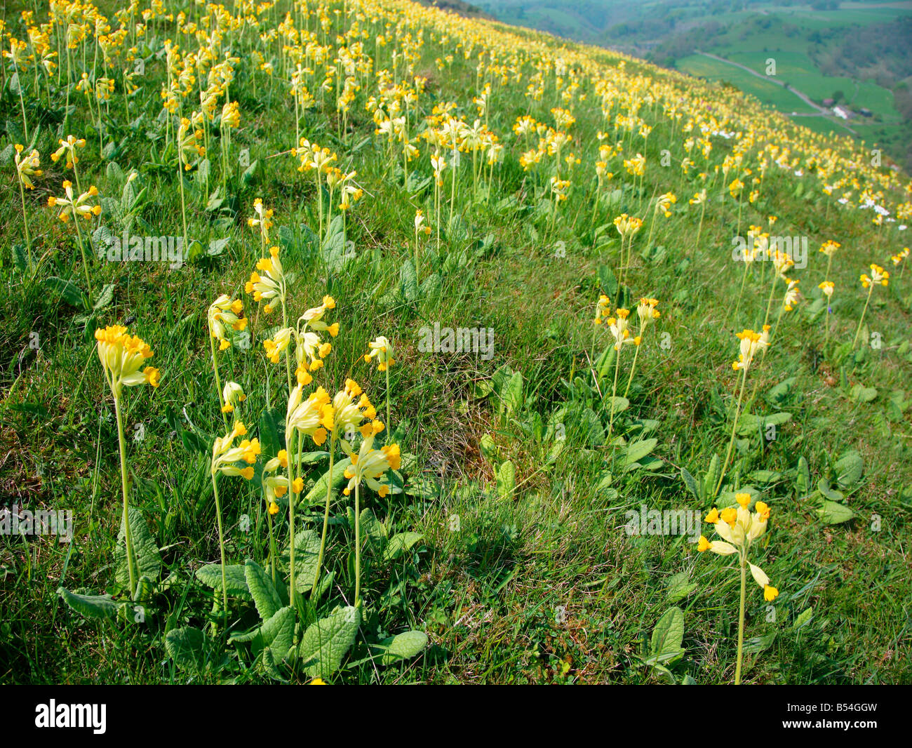 Cowslip Primula veris covering a hillside at Priestcliffe Lees in the Derbyshire Peak District Stock Photo