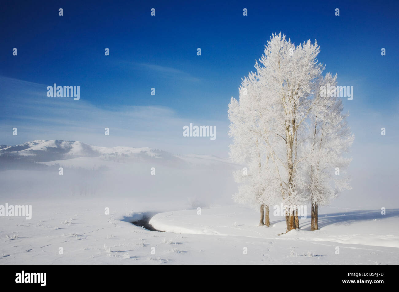 Cottonwood tree Populus sp frost covered Lamar Valley Yellowstone National Park Wyoming USA Stock Photo