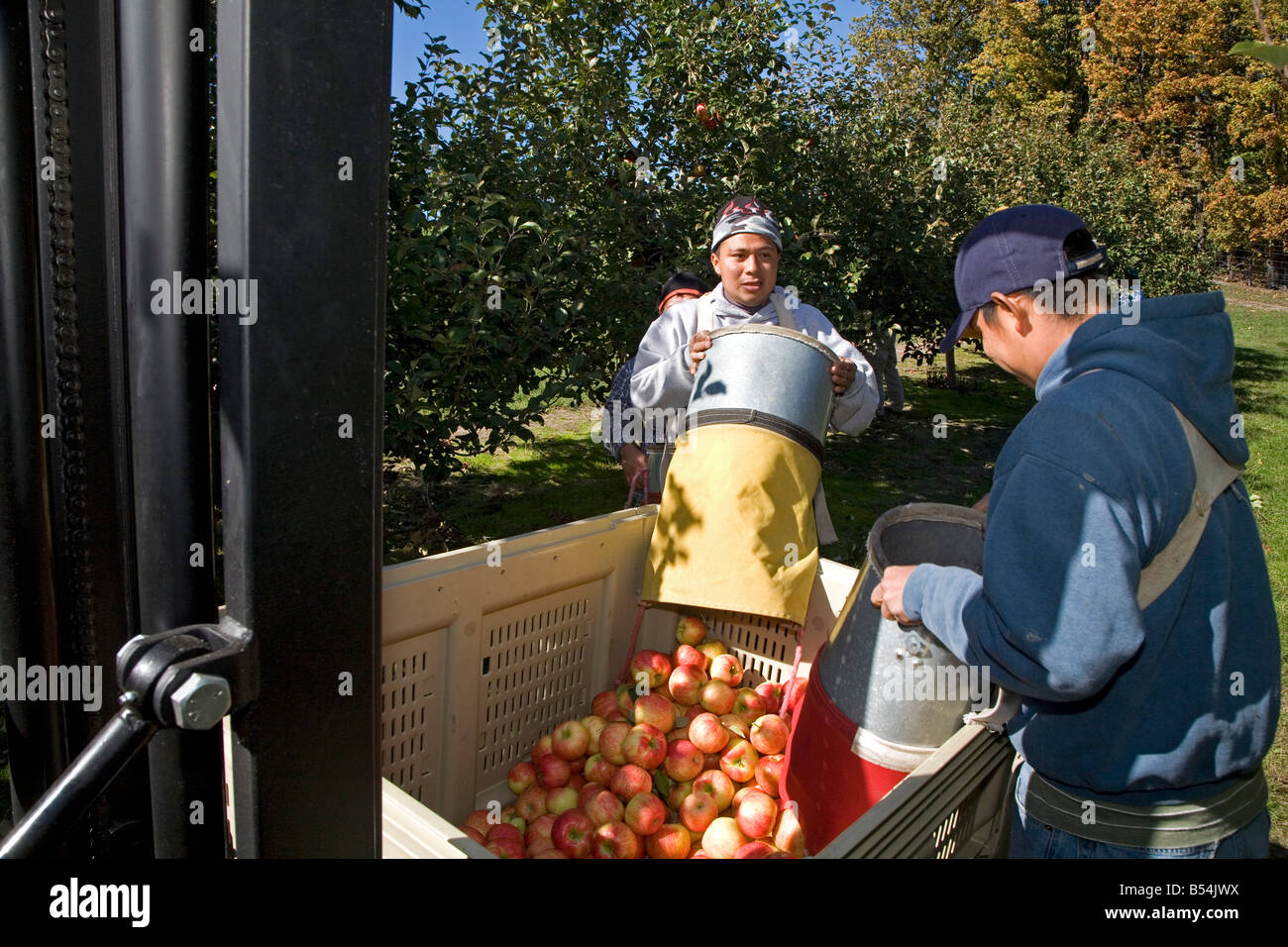 Migrant Workers in Apple Orchard Stock Photo