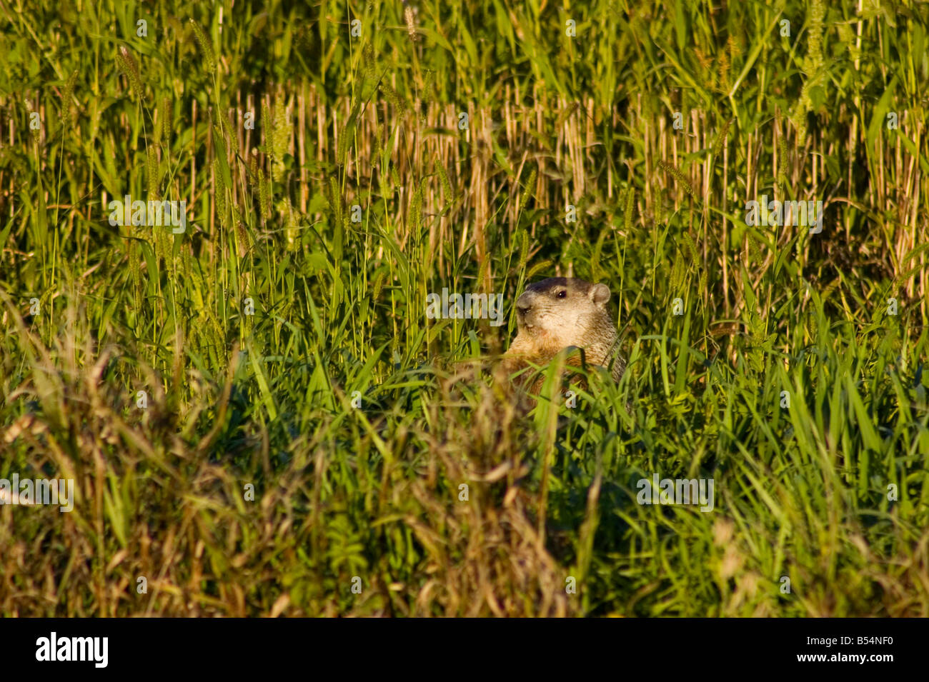A woodchuck sits up in the weeds growing in the wheat stubble. - Stock Image