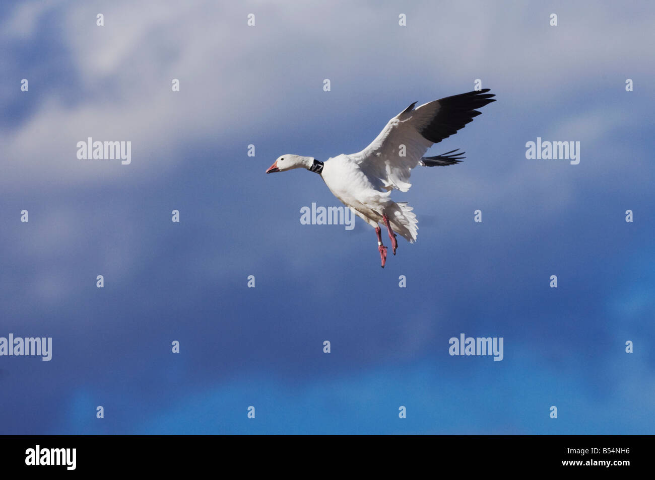 Snow Goose Chen caerulescens banded adult landing Bosque del Apache National Wildlife Refuge New Mexico USA - Stock Image