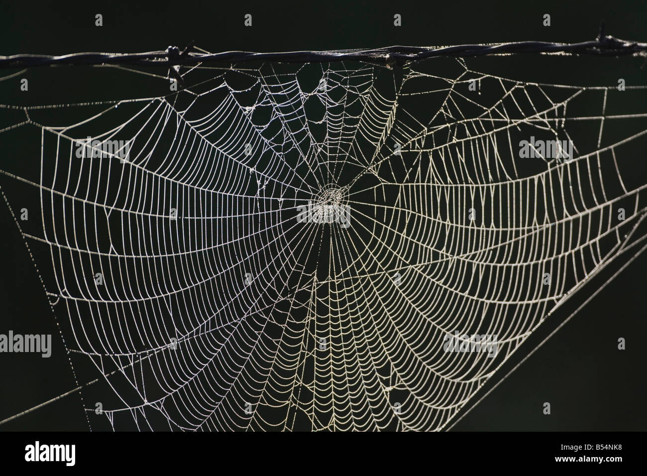 Dew covered Spiderweb on barbed wire fence Sinton Corpus Christi ...