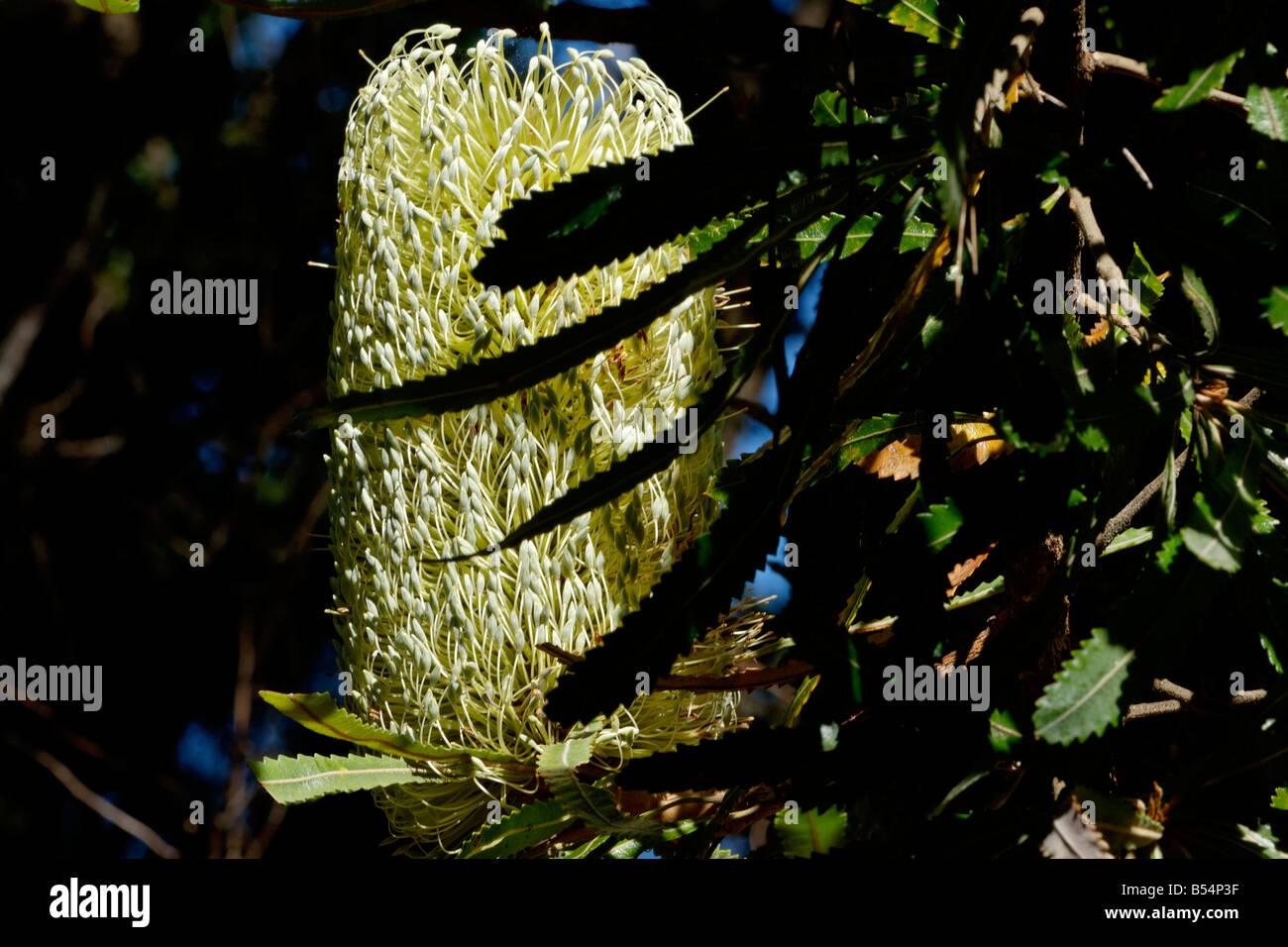 Sunlit stem of Banksia florets, Noosa National Park, Queensland - Stock Image