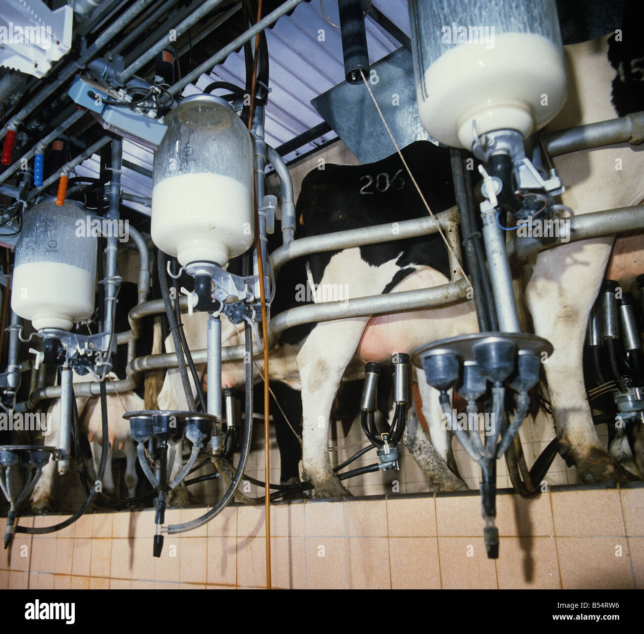 Friesian dairy cows at milking time in a herring bone parlour - Stock Image