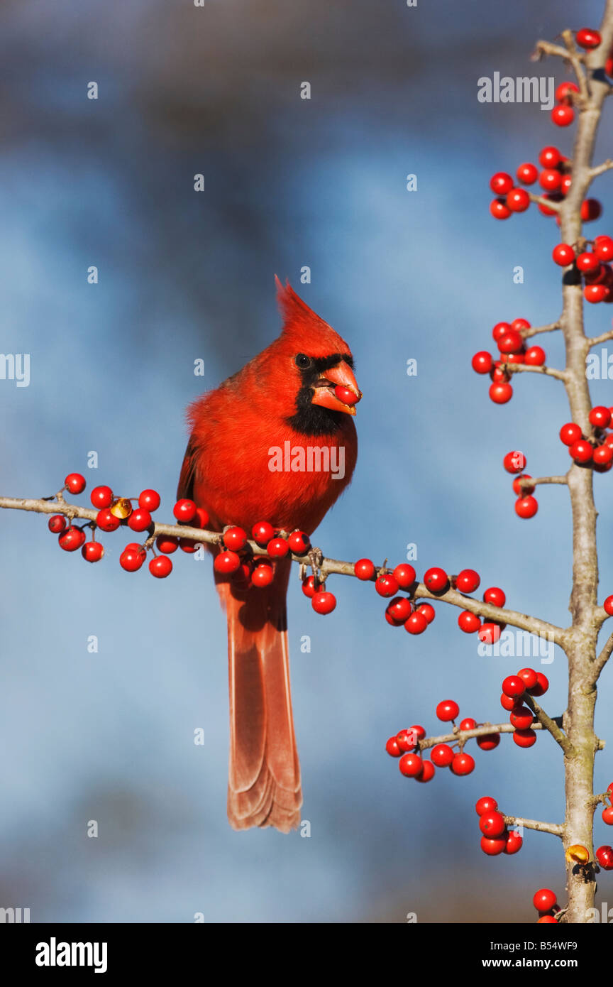 Northern Cardinal Cardinalis cardinalis male eating Possum Haw Holly Ilex decidua berries Bandera Hill Country Texas - Stock Image
