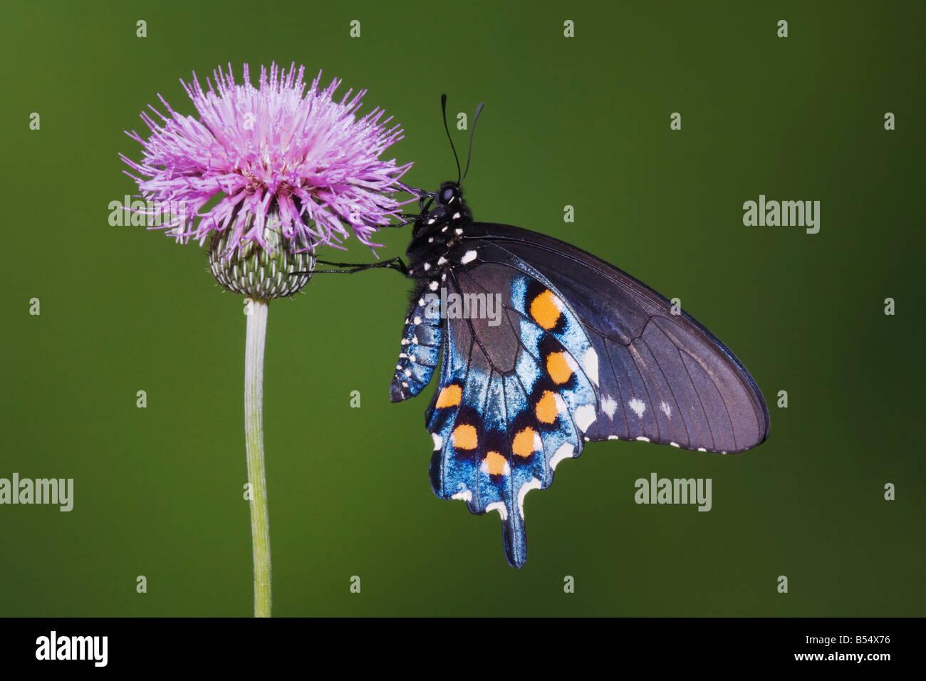 Pipevine Swallowtail Battus philenor adult feeding on texas thistle Sinton Corpus Christi Coastal Bend Texas USA - Stock Image