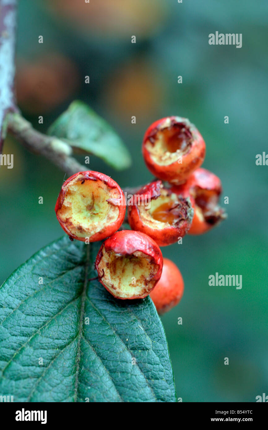 COTONEASTER SIMONSII PROVIDES VALUABLE FOOD FOR FINCHES - Stock Image