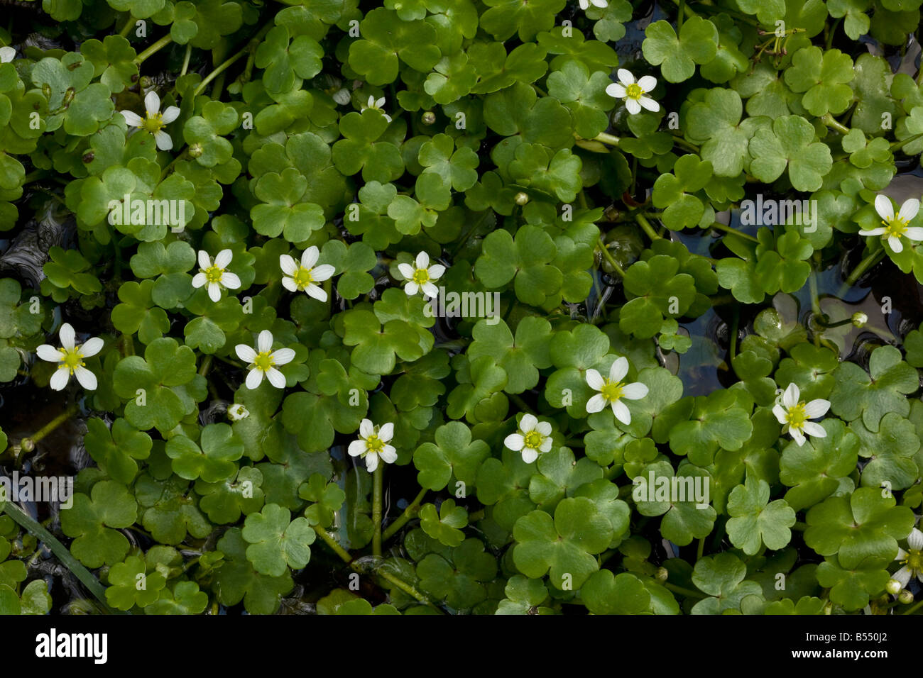 Round leaved Crowfoot Ranunculus omiophyllus R lenormandii in wet hollow - Stock Image