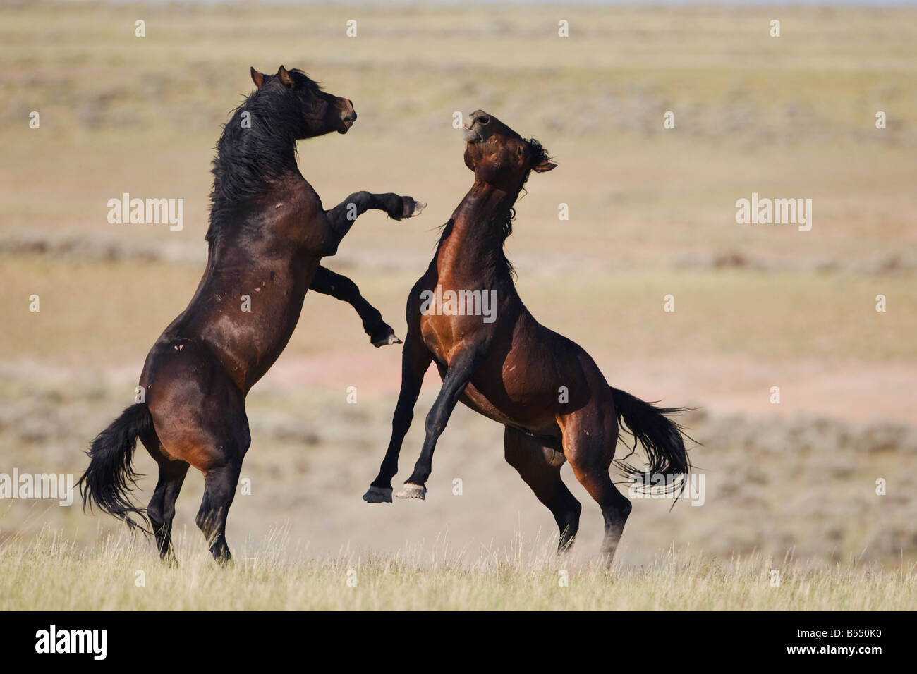 Mustang Horse Equus caballus stallions fighting Pryor Mountain Wild Horse Range Montana USA - Stock Image