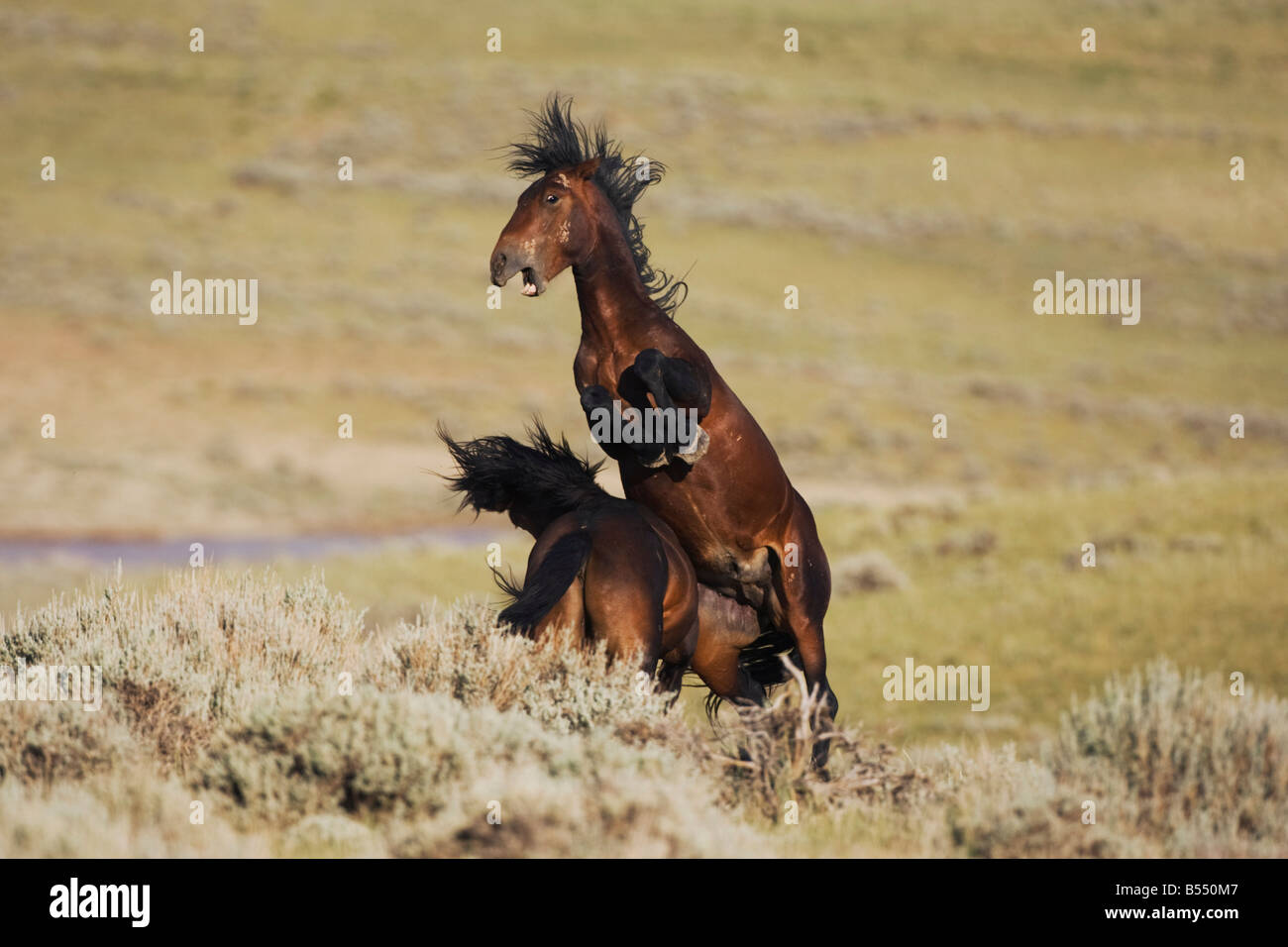 Mustang Horse Equus caballus stallions fighting Pryor Mountain Wild Horse Range Montana USA Stock Photo