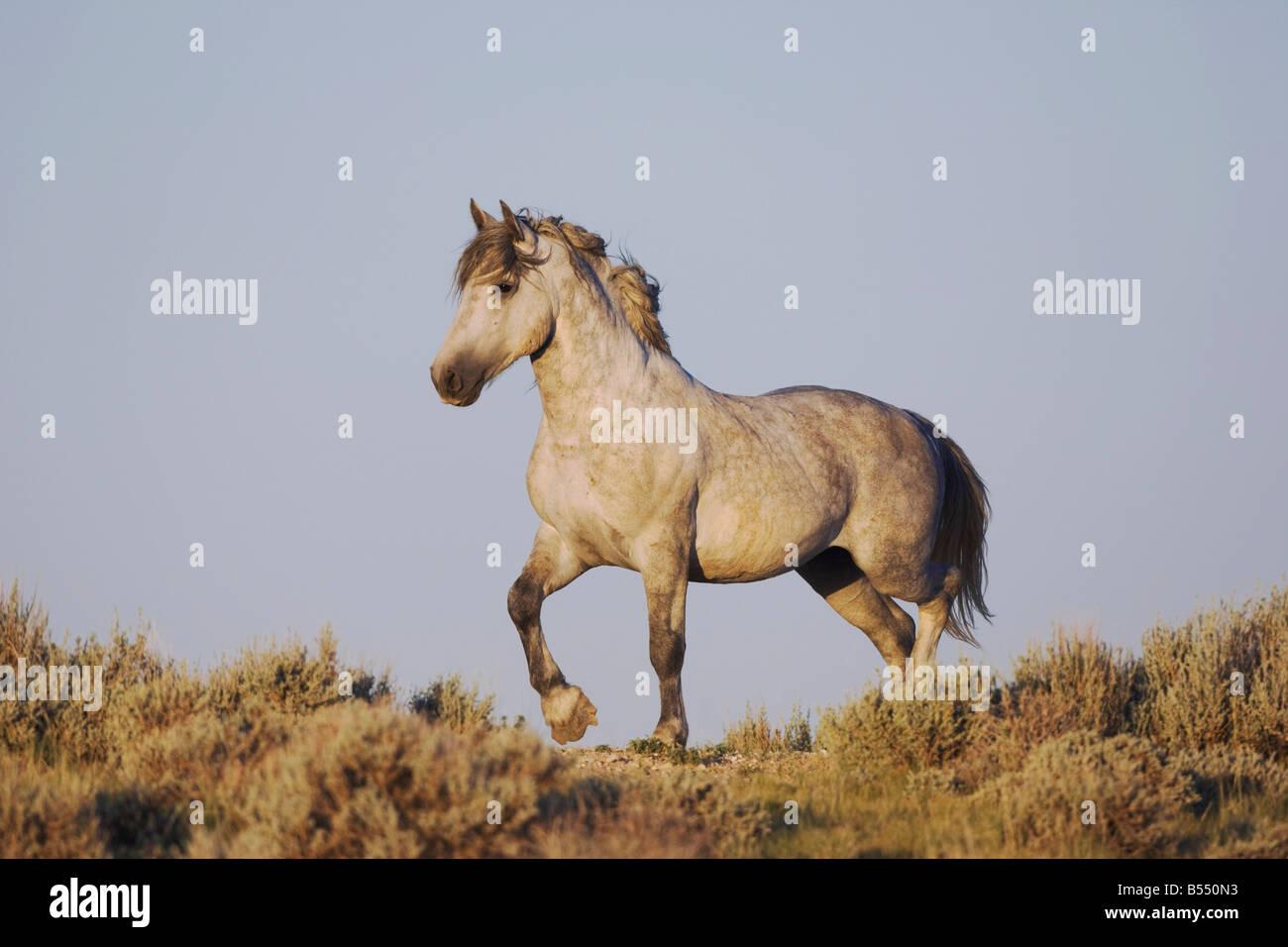 Mustang Horse Equus caballus adult Pryor Mountain Wild Horse Range Montana USA Stock Photo