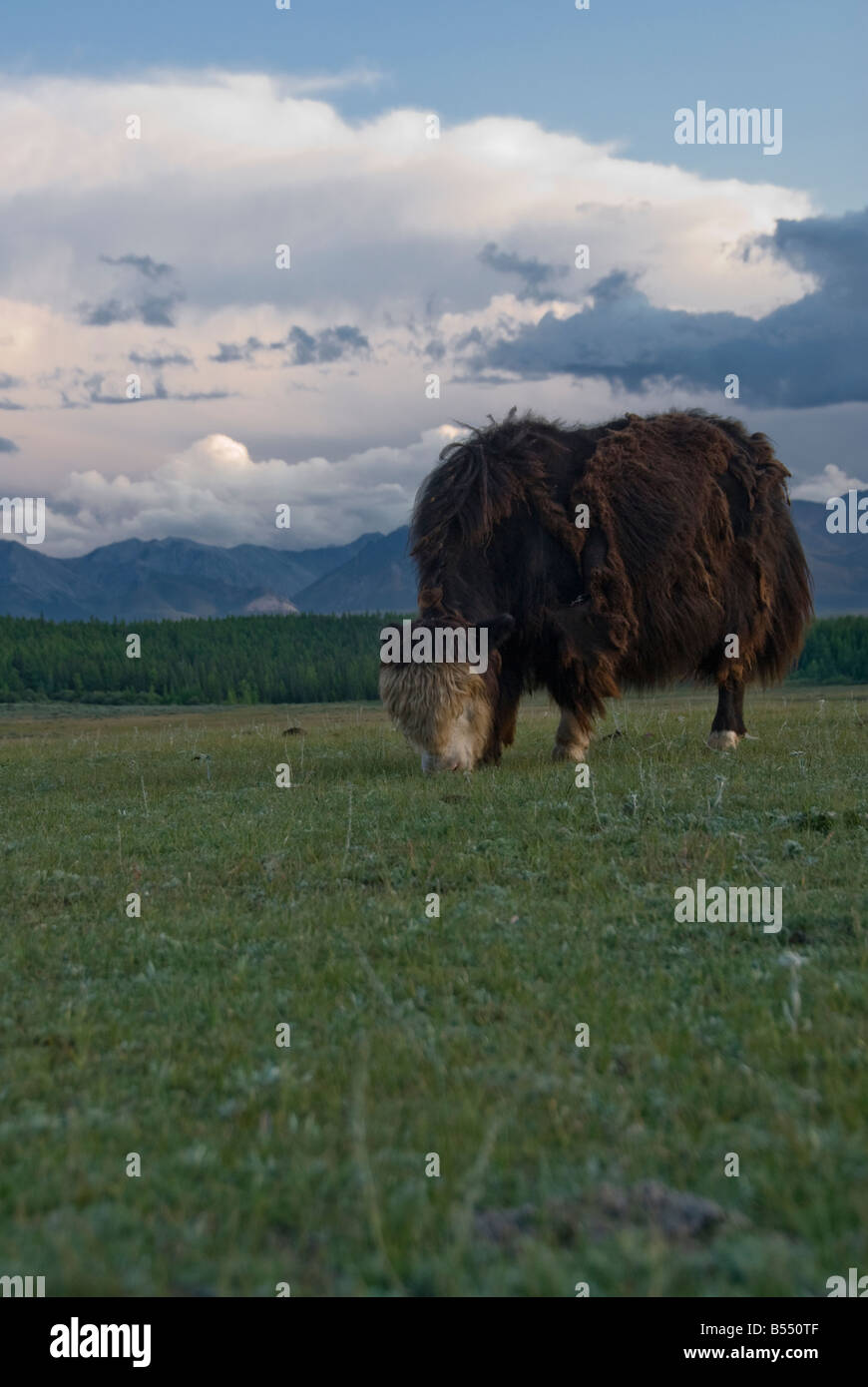 Mongolian Yaks eating grass Northern Mongolia - Stock Image