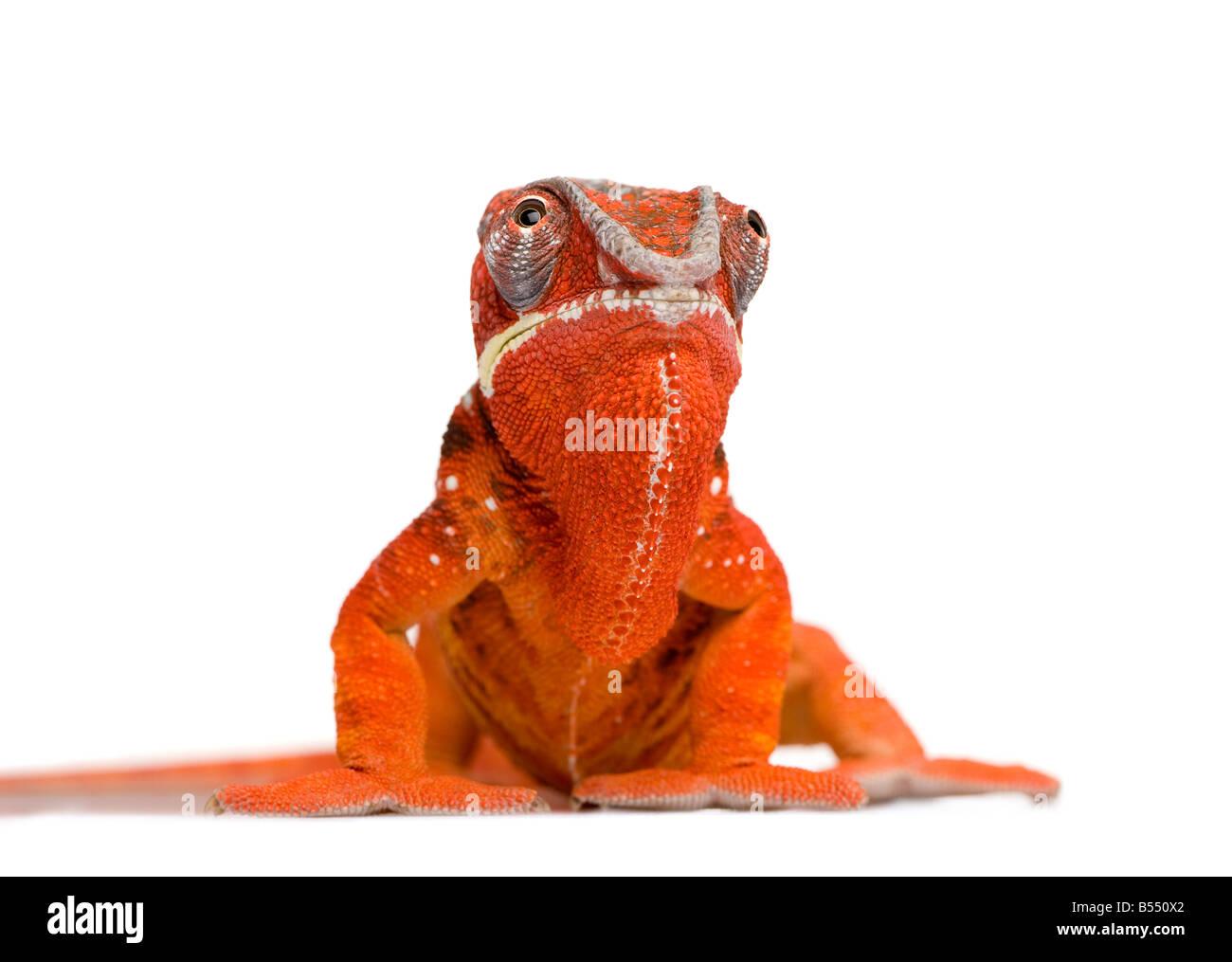 Chameleon Furcifer Pardalis Sambava 2 years in front of a white background - Stock Image