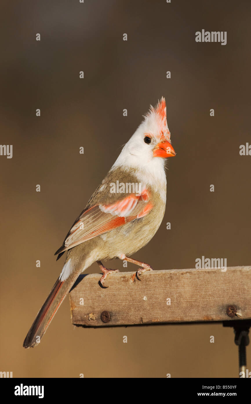 Northern Cardinal Cardinalis cardinalis leucistic female perched on feeder Bandera Hill Country Texas USA - Stock Image