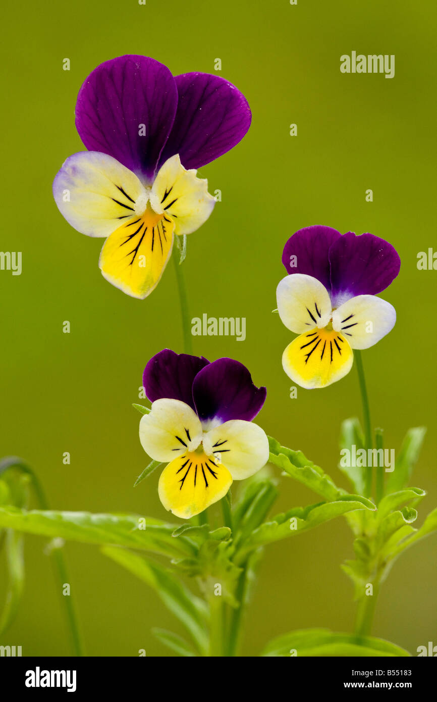 Wild Pansy or Heartsease (Viola tricolor), close-up - Stock Image