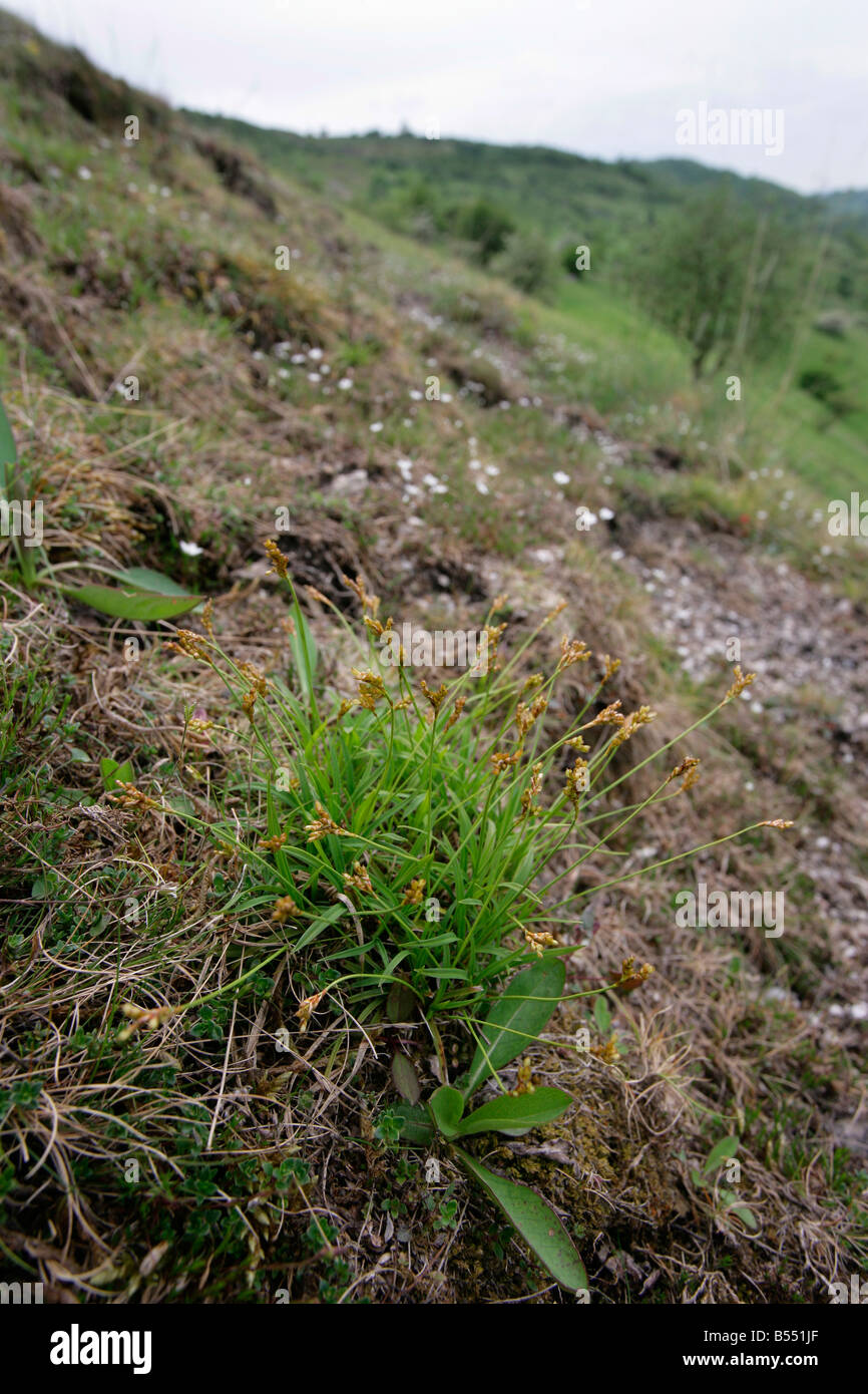 The rare Bird's Foot Sedge Carex ornithopoda growing on the Burfoot in Miller's Dale Derbyshire - Stock Image