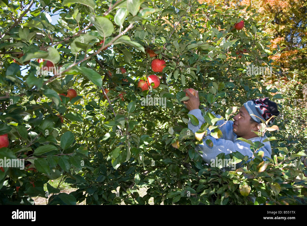 Migrant Workers in Apple Orchard - Stock Image