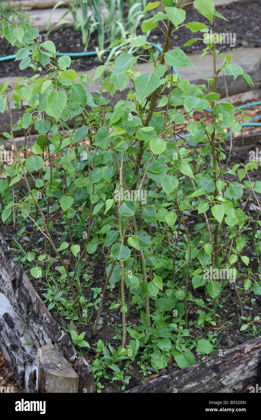 QUICK GROWING POPLAR CUTTINGS GROWING IN RAISED BED - Stock Image