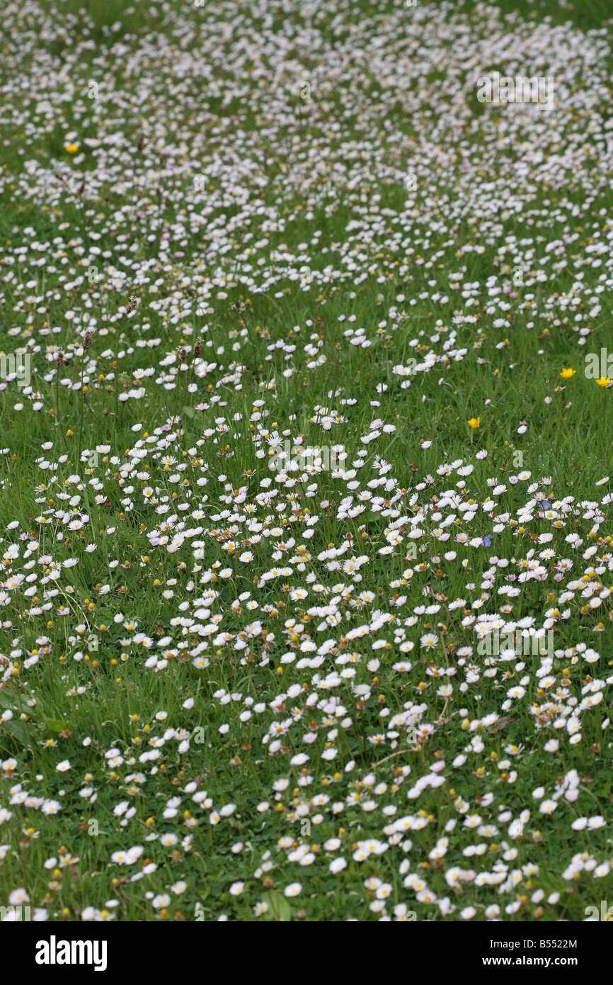 DAISY Bellis perennis FLOWERS TAKE OVER THE LAWN - Stock Image