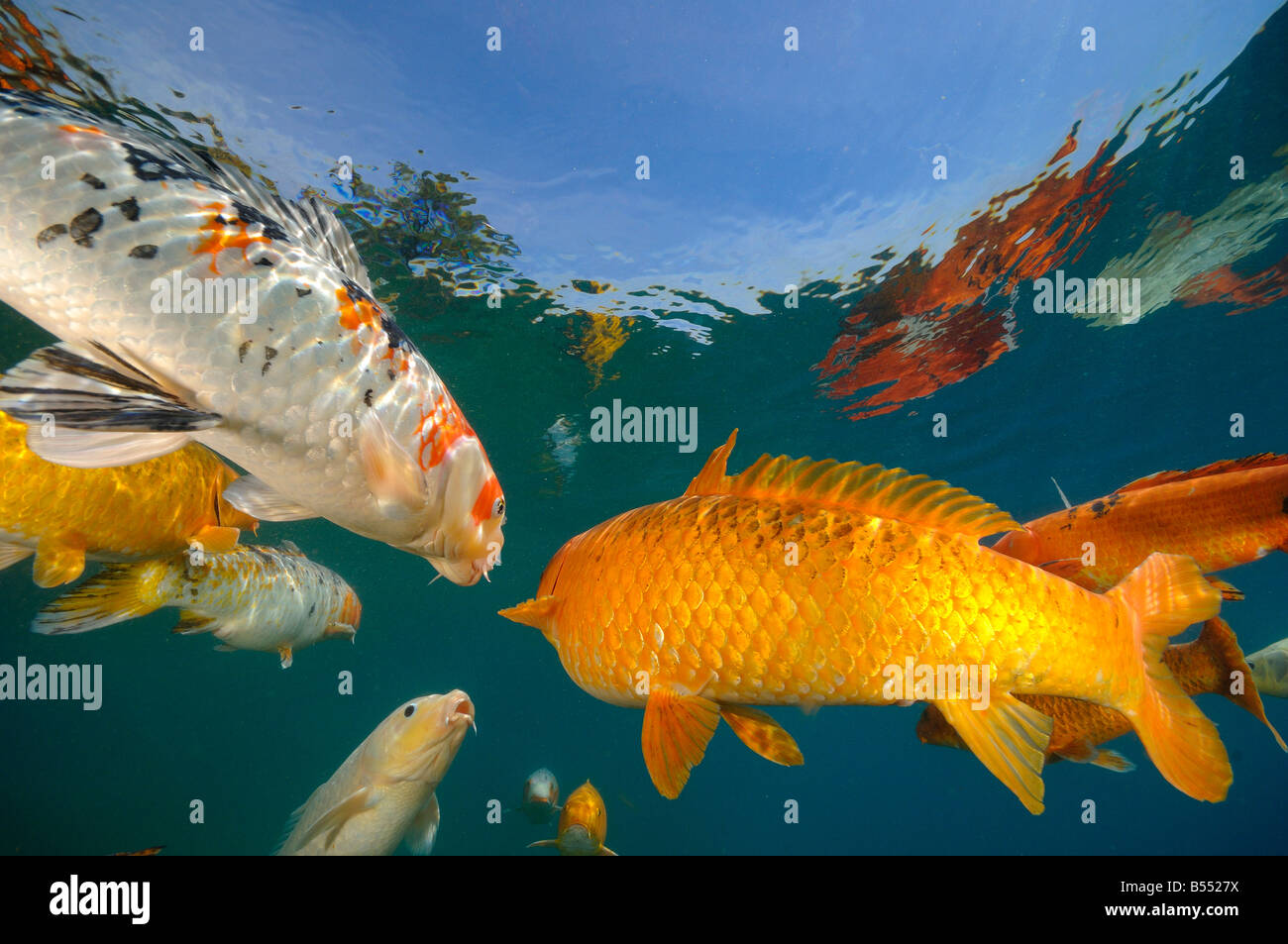 Koi are freshwater carp raised in ponds - Stock Image