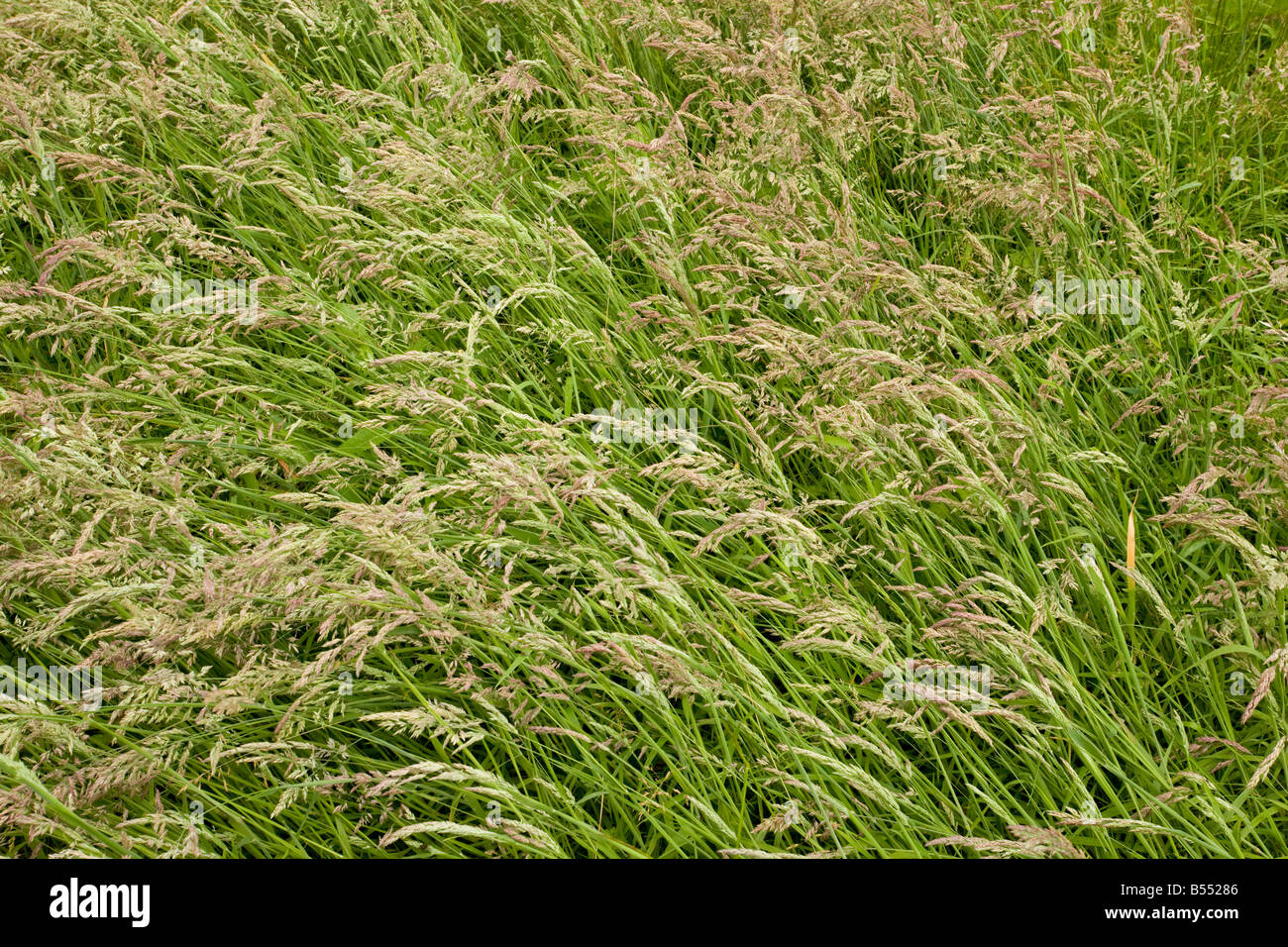 Sward of Yorkshire Fog grass (Holcus lanatus), full frame Stock Photo