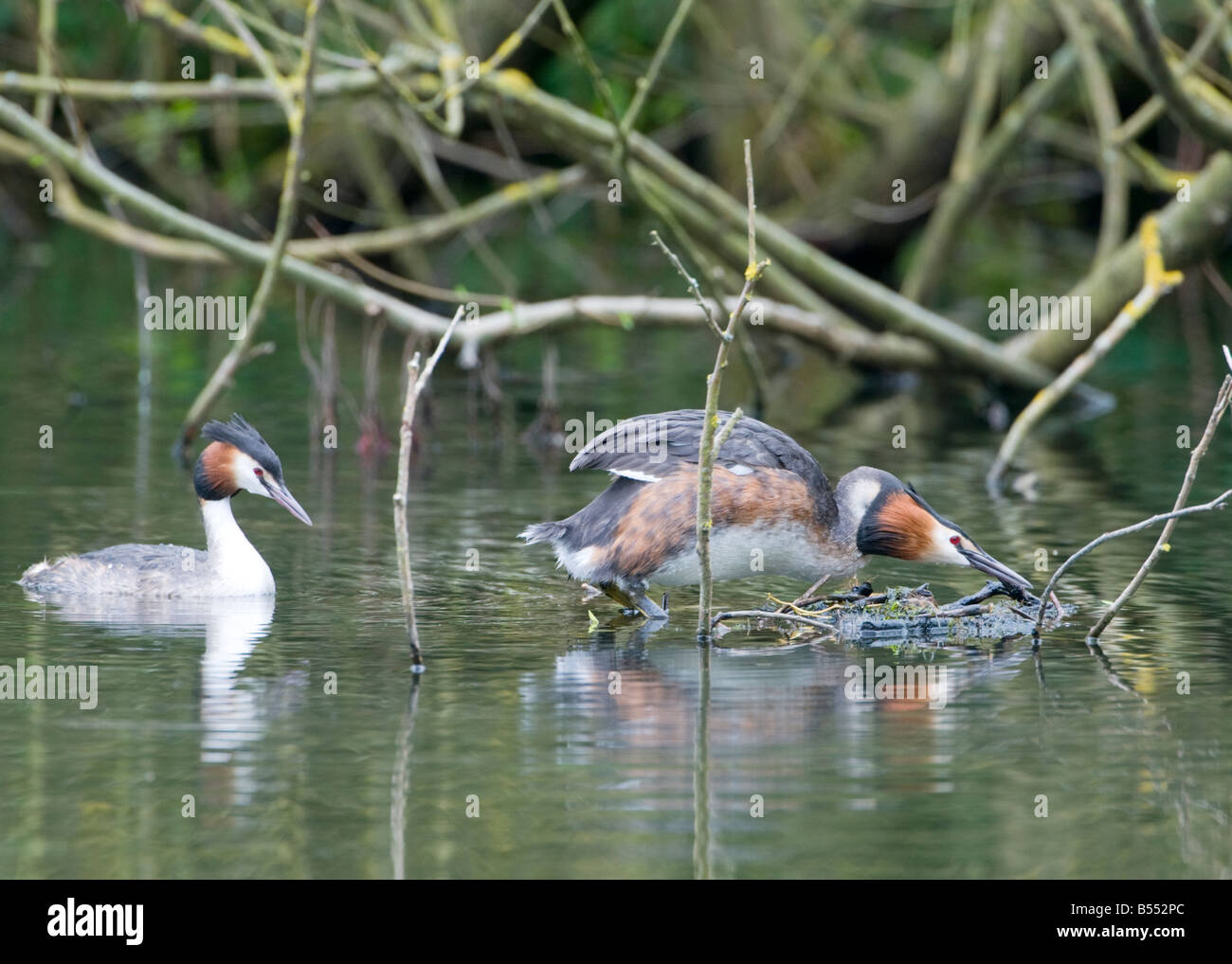 Great Crested Grebes (Podiceps cristatus) preparing to mate in spring time in an English lake - Stock Image