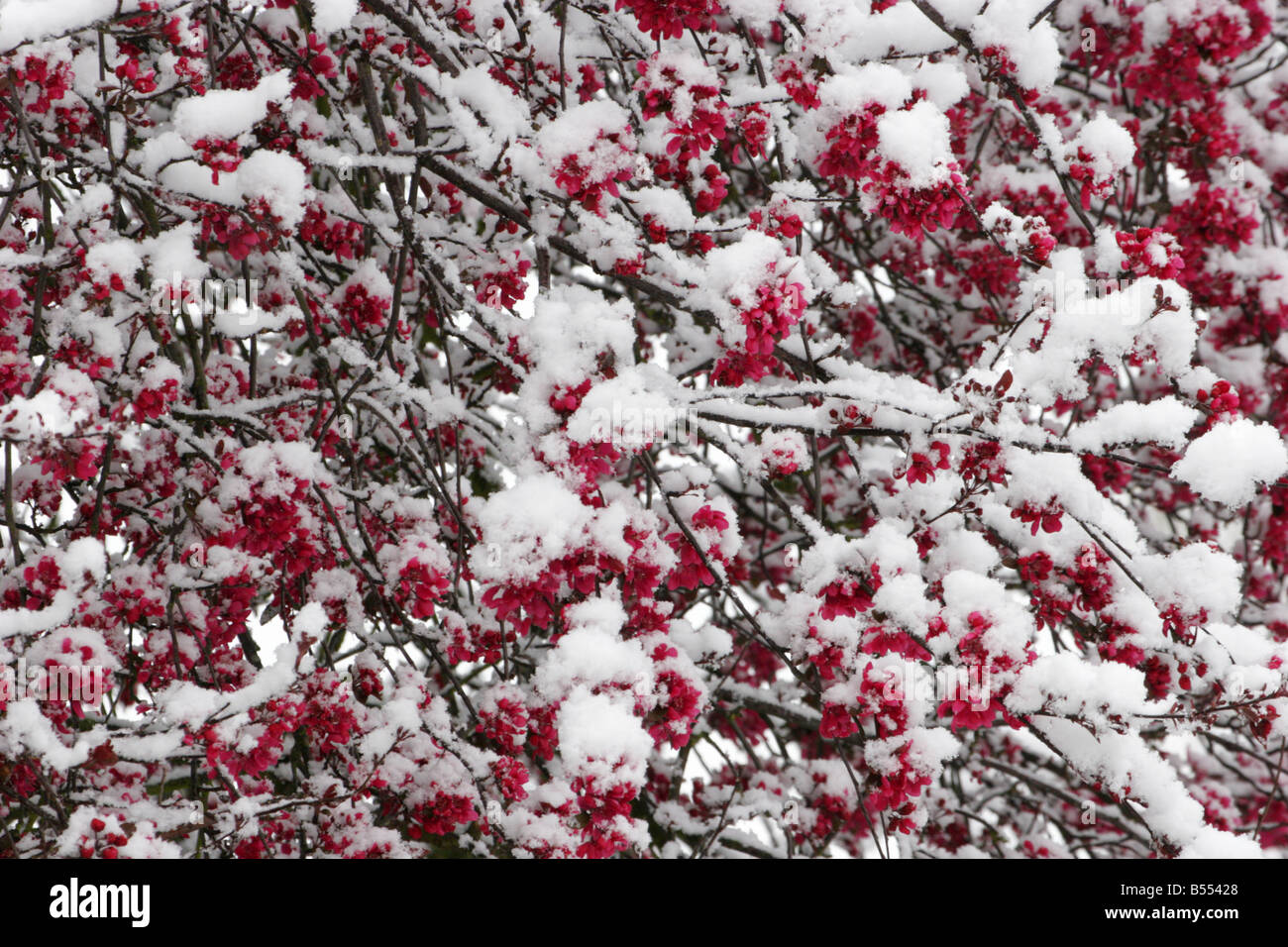 Malus Spring Snow Stock Photos Malus Spring Snow Stock Images Alamy