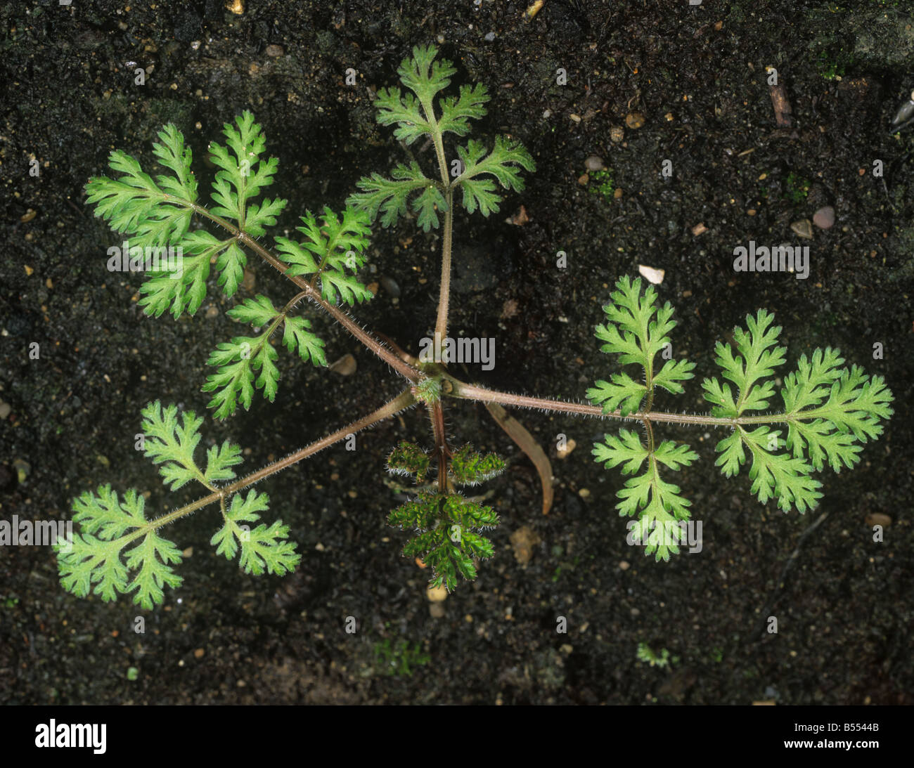 Small bur parsley Caucalis platycarpos young plant - Stock Image