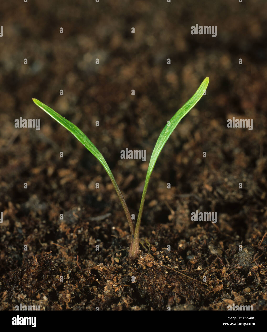 Cow parsley Anthriscus sylvestris seedling with cotyledons only - Stock Image