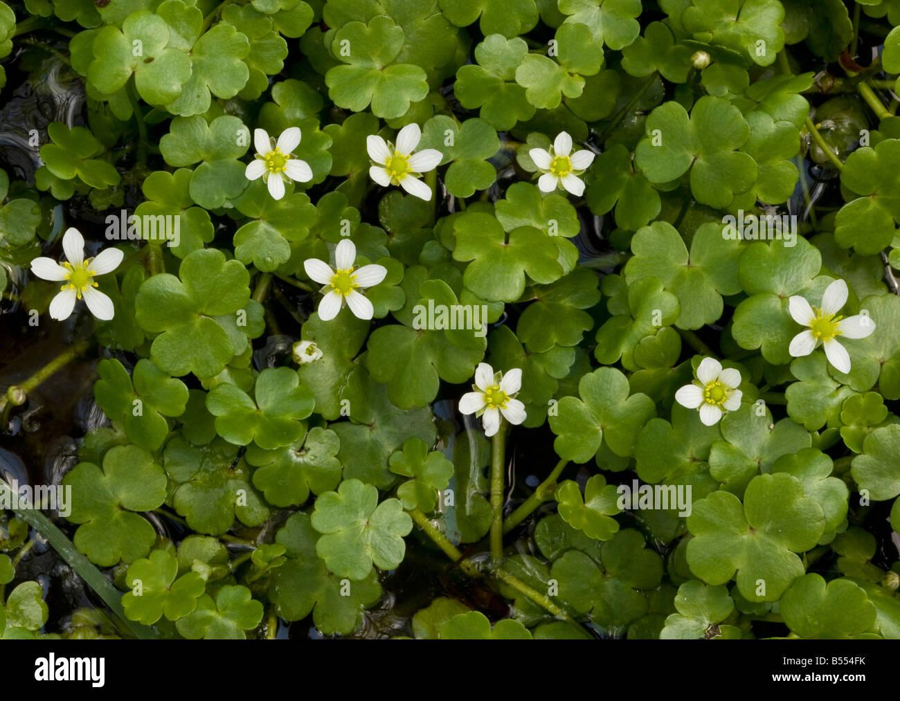 Round leaved Crowfoot (Ranunculus omiophyllus) in wet hollow - Stock Image