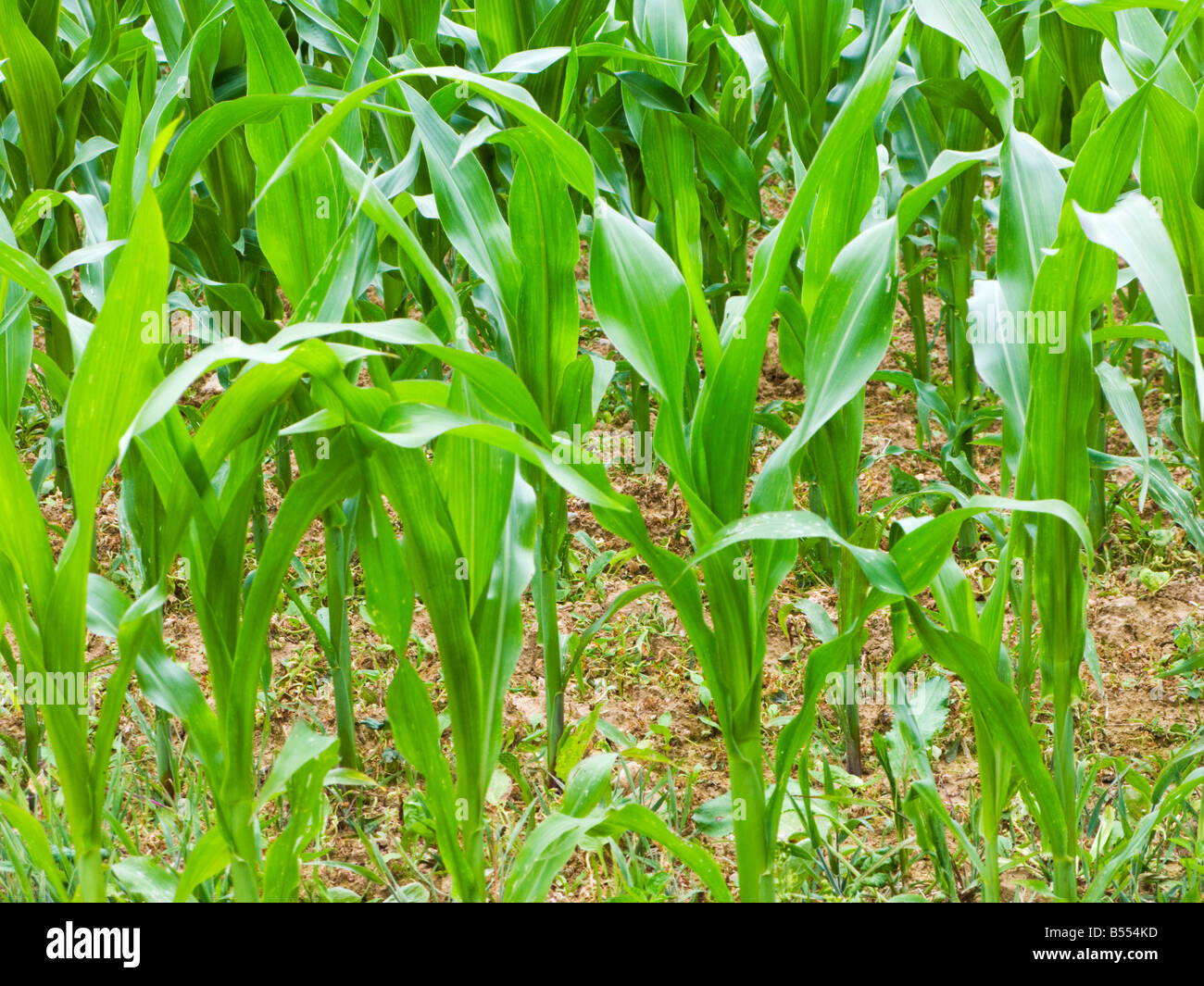 Young new Maize plants in summer growing in a field in France Europe - Stock Image