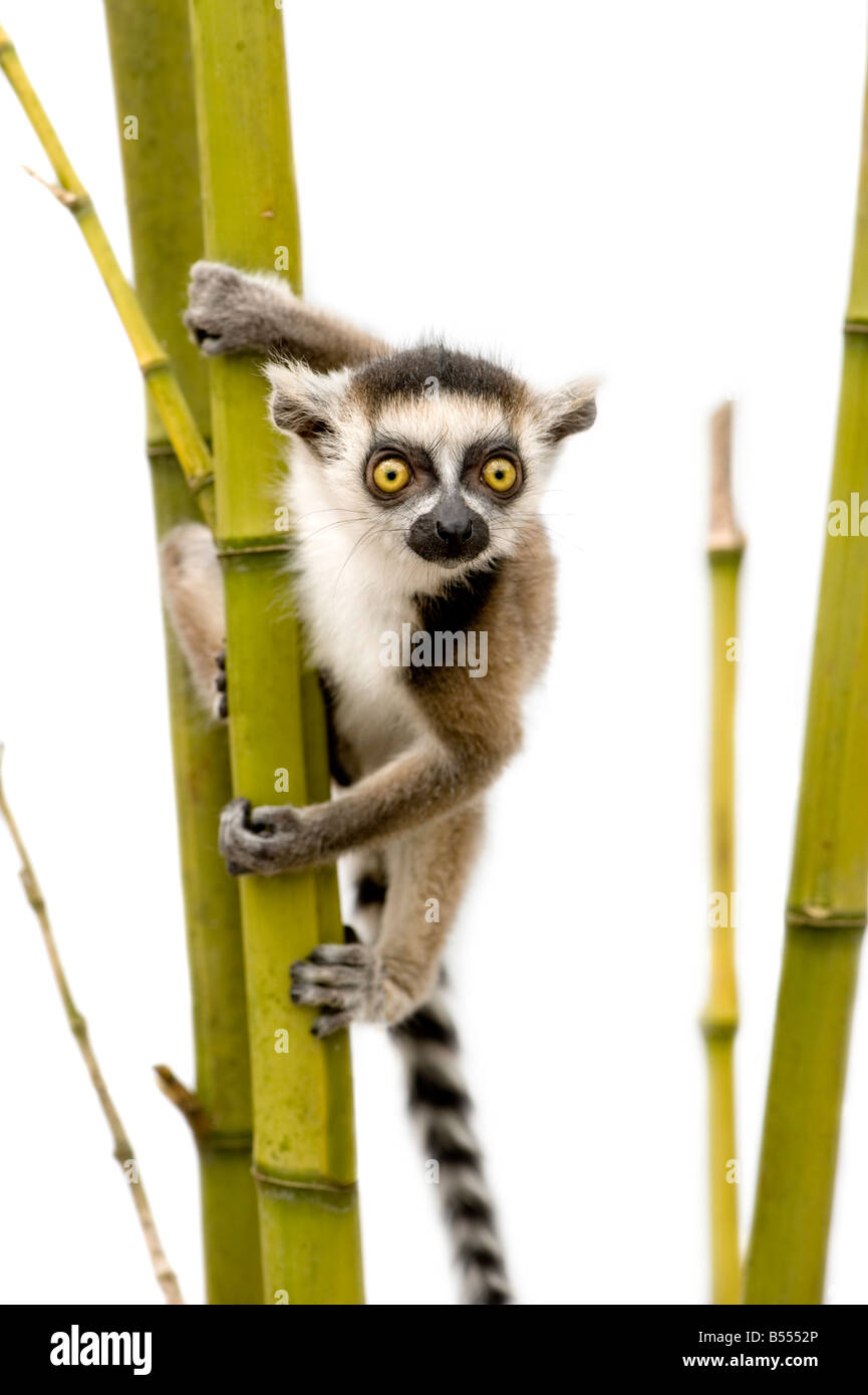 Ring tailed Lemur 6 weeks Lemur catta in front of a white background Stock Photo