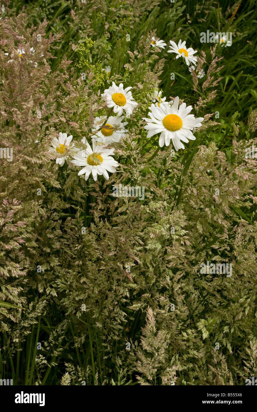 Ox eye Daisies Leucanthemum vulgare among Yorkshire Fog grass Holcus lanatus in old orchard Gloucs Stock Photo