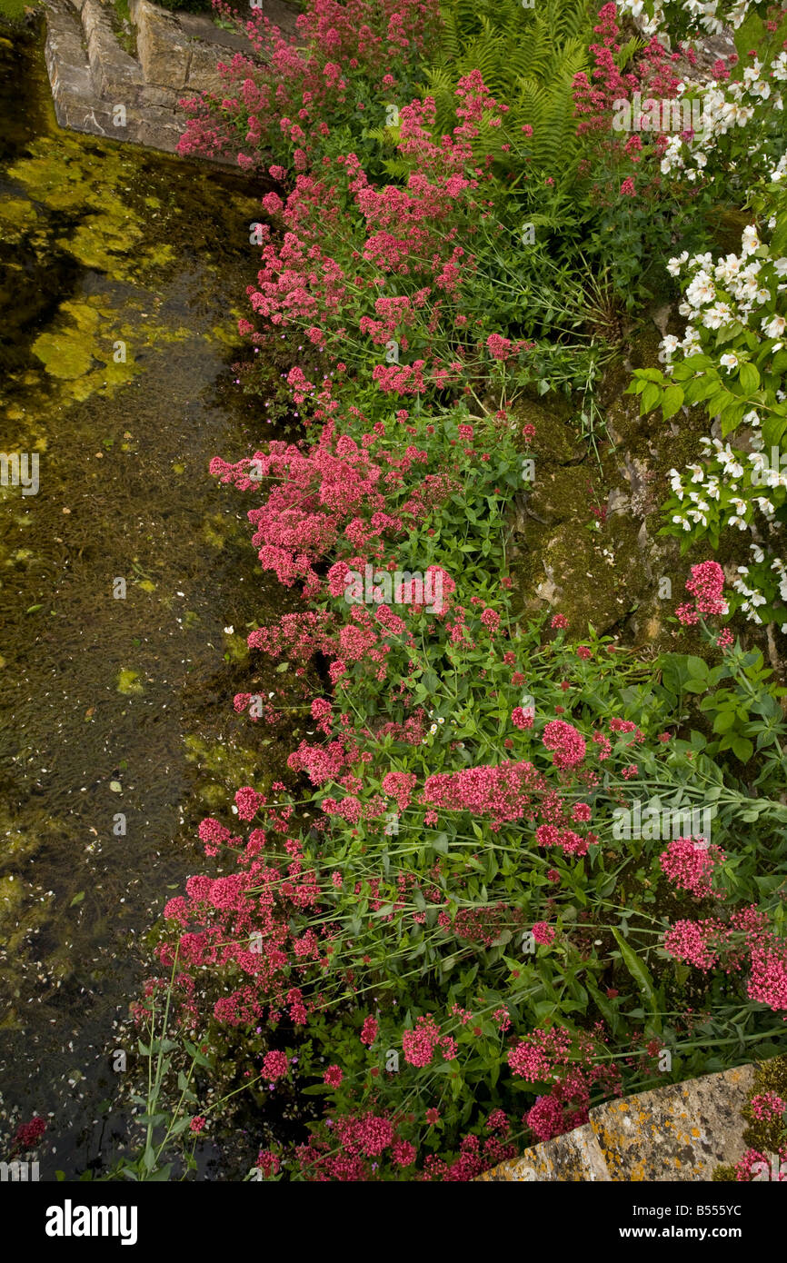 Garden Valerian Stock Photos & Garden Valerian Stock Images - Alamy