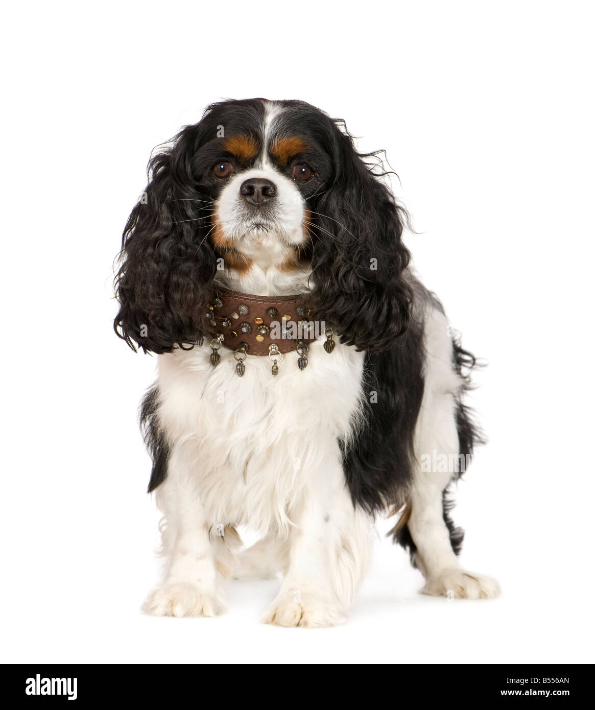 Cavalier King Charles Spaniel 6 years in front of a white background - Stock Image
