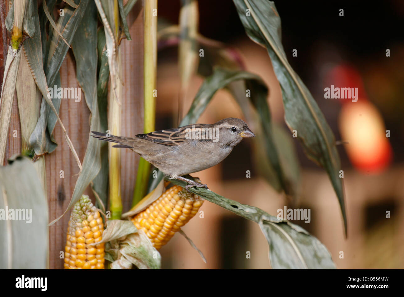 House Sparrow (Passer domesticus) female sitting among corncobs in a harvest festival decoration - Stock Image