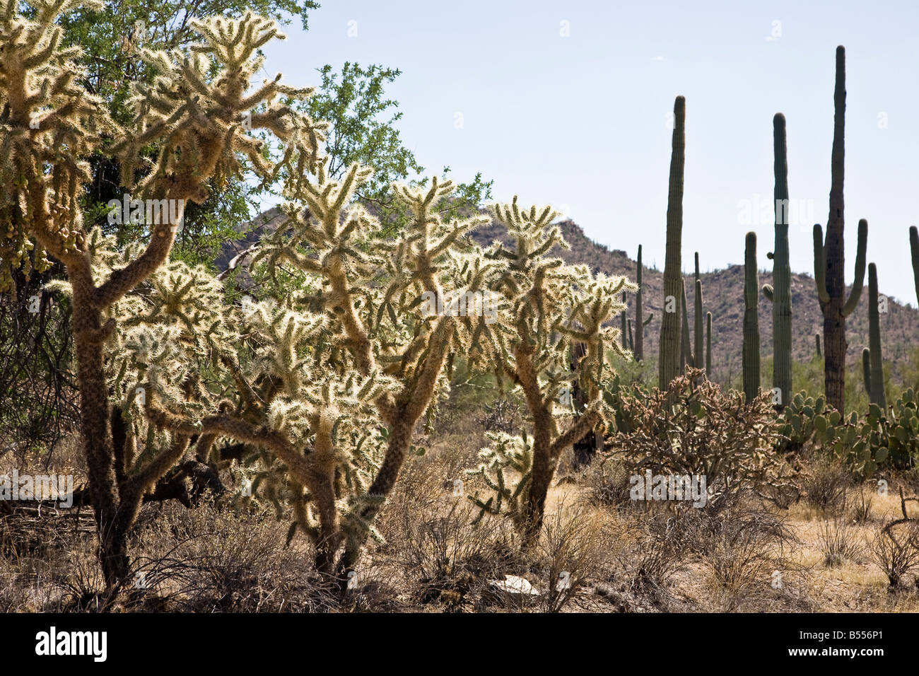 Jumping cholla Saguaro NP Arizona USA - Stock Image