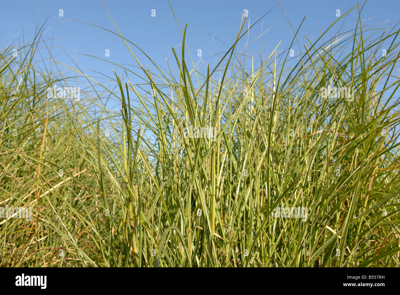TALL GRASS - Stock Image
