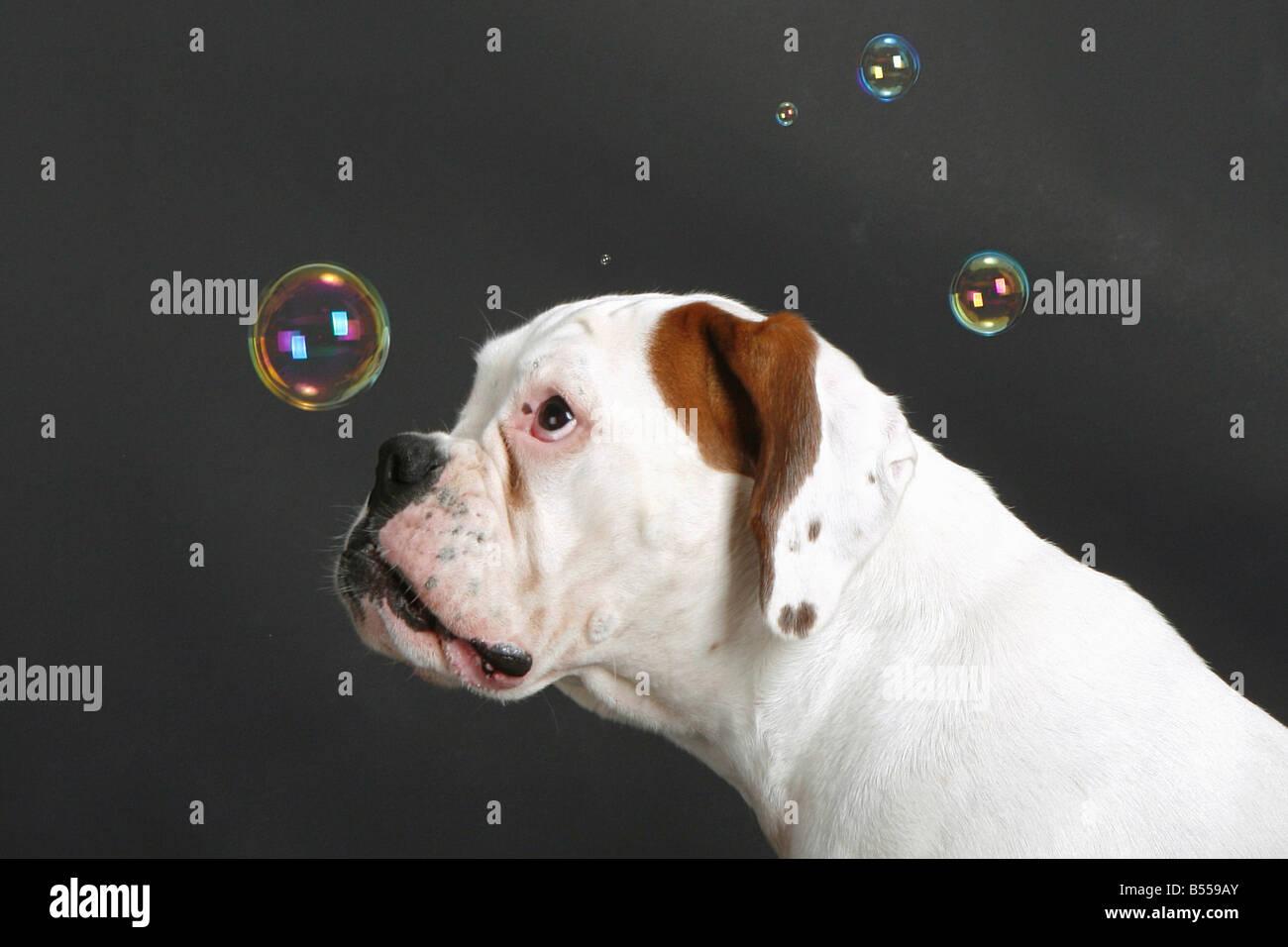 white Boxer - watching bubble soaps Stock Photo