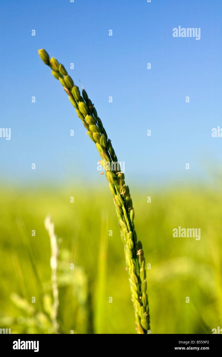 rice skein - Stock Image