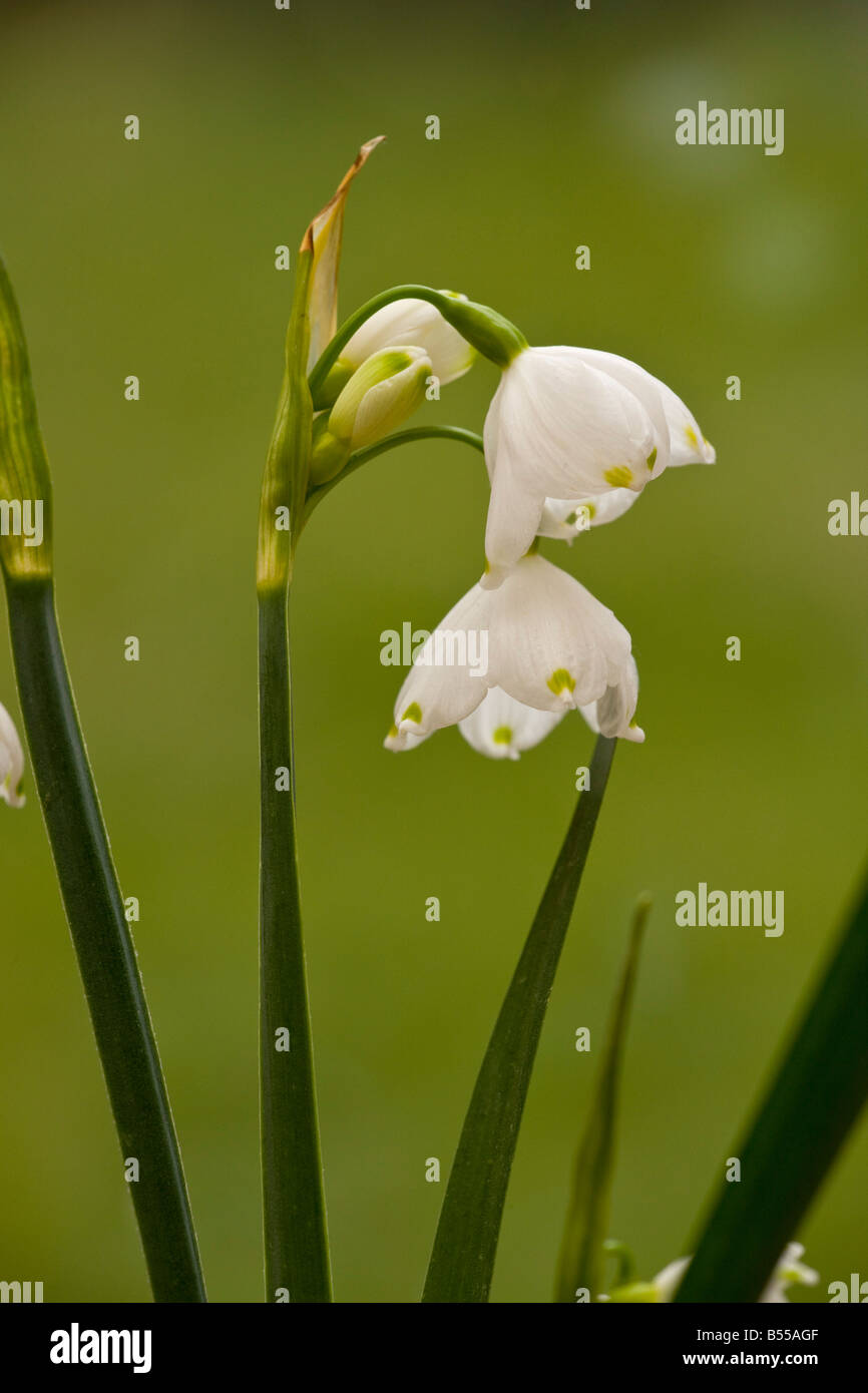 Summer Snow flake (Leucojum aestivum) native form in Piddle Valley, Dorset, England, UK Stock Photo